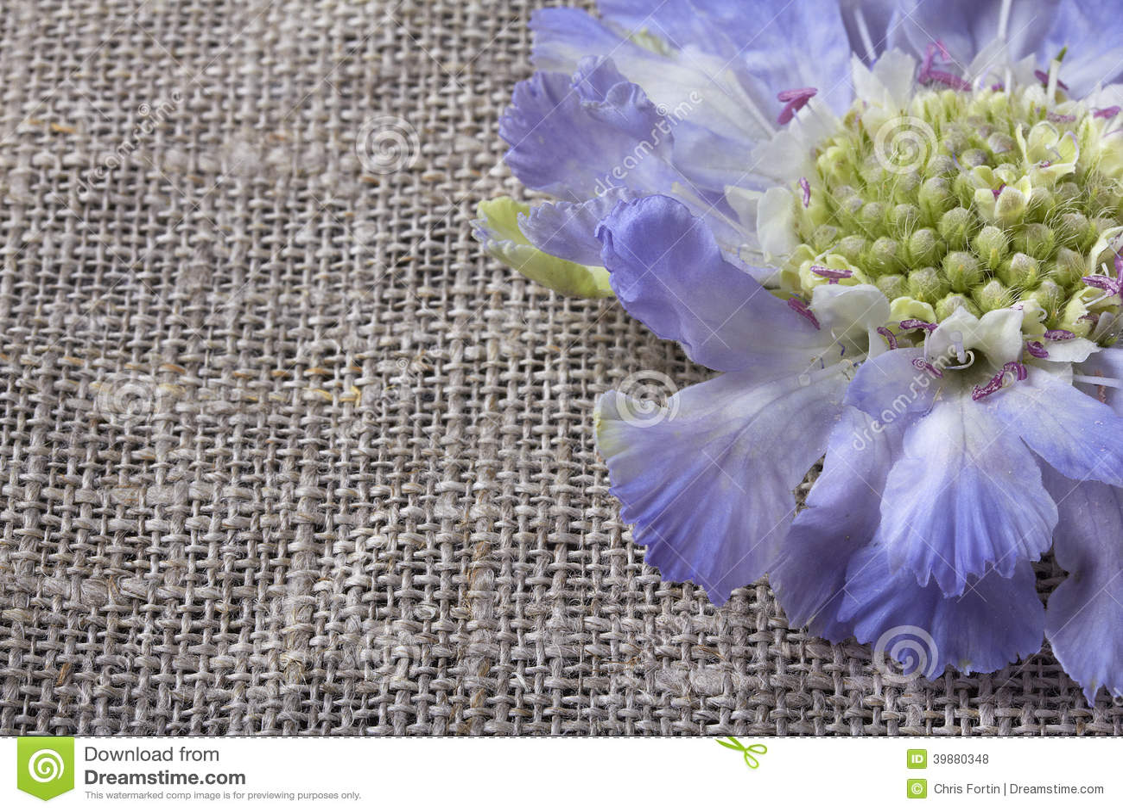 Цветок Pincushion Scabiosa
