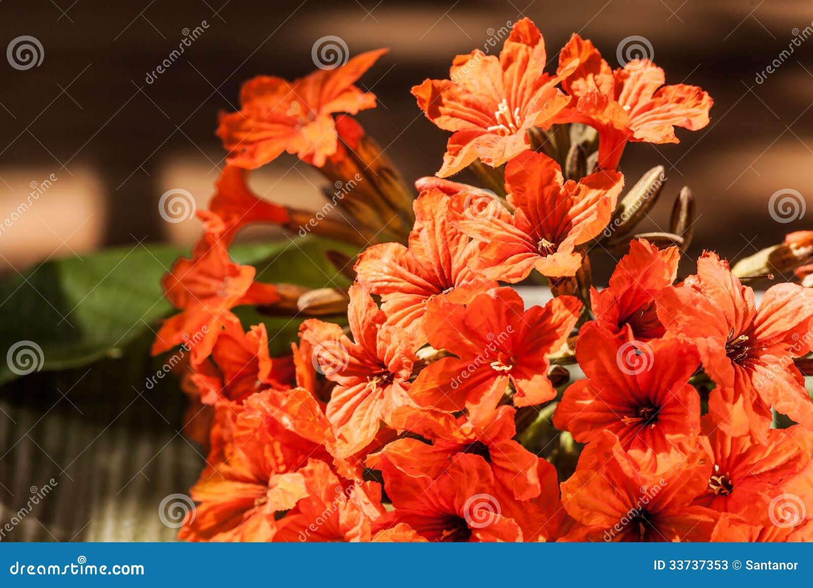 Цветок sebestena Cordia