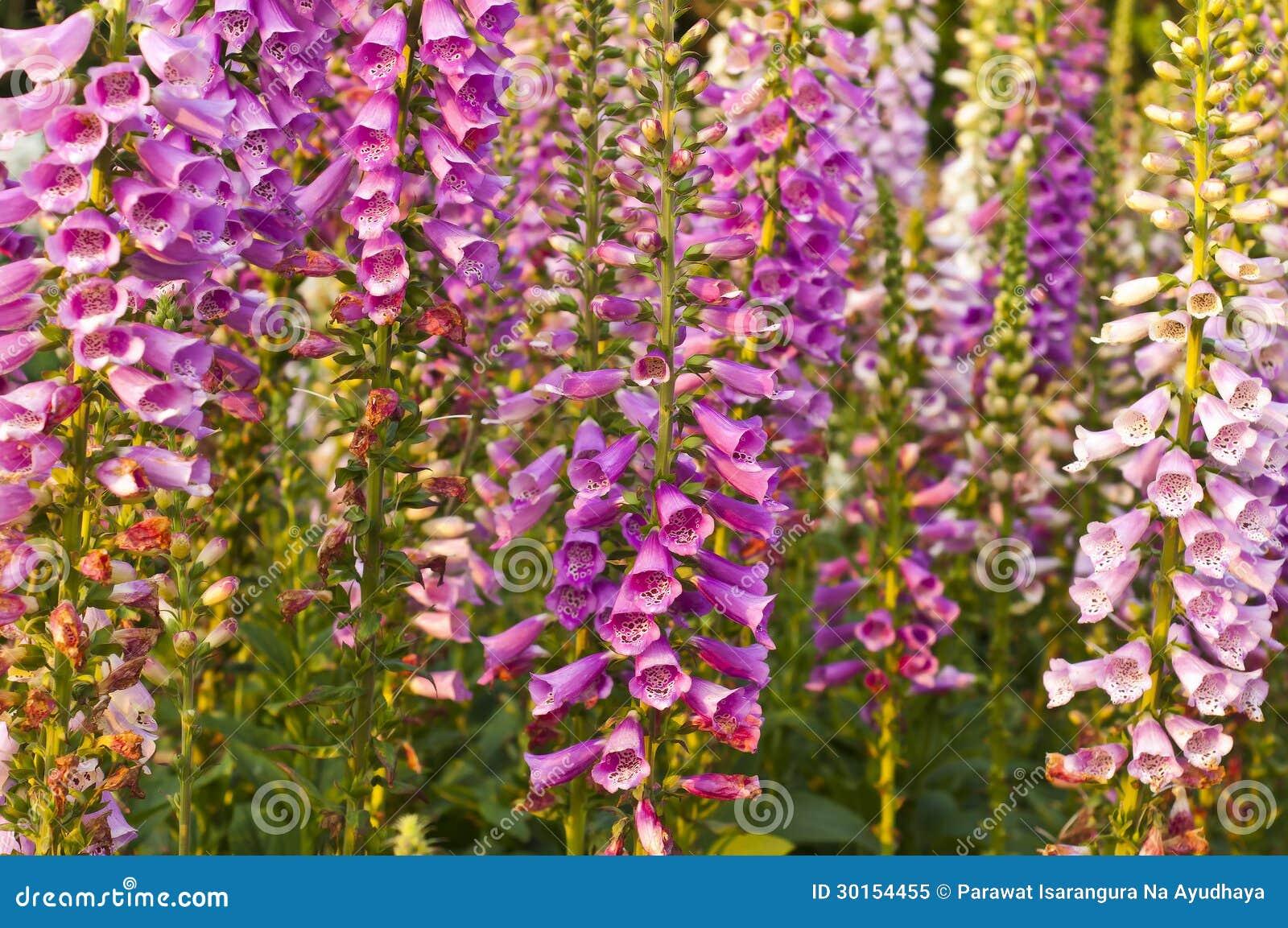 Цветок snapdragon