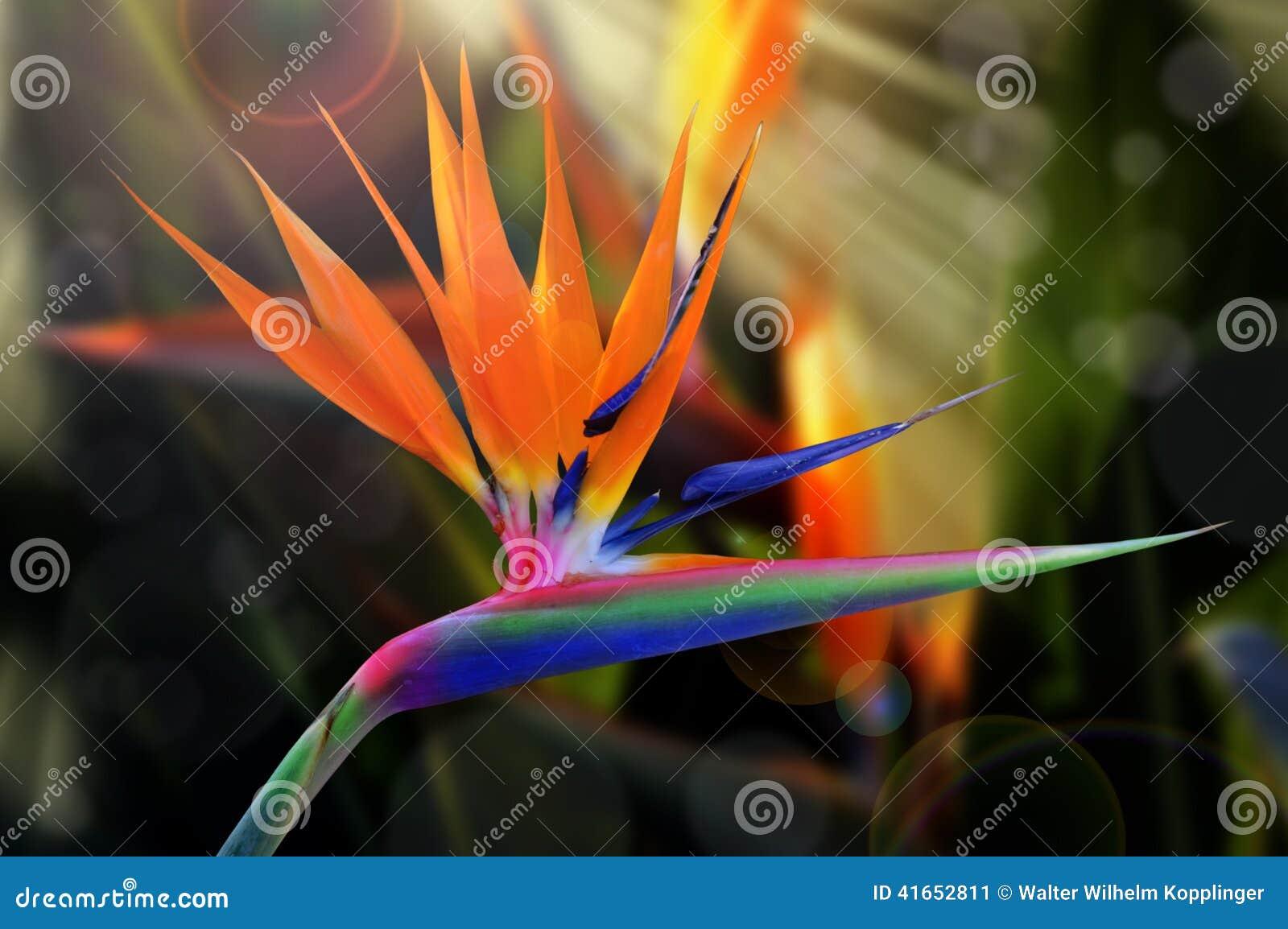 Цветок Strelitzia