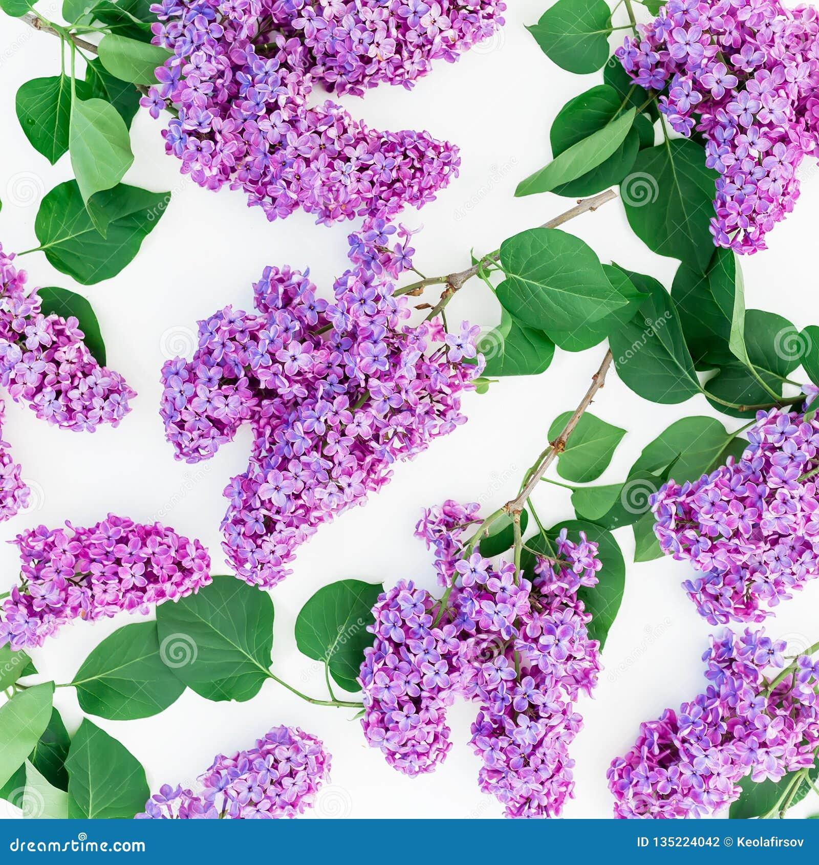 Цветочный узор ветвей и листьев сирени на белой предпосылке Плоское положение, взгляд сверху Состав весны цветка