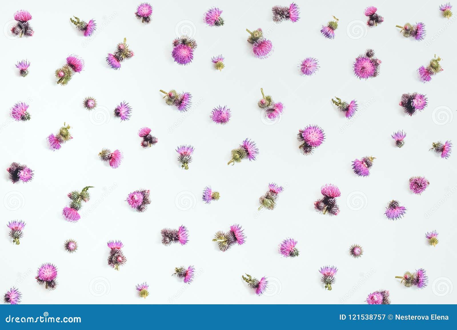Цветочный узор сделанный розового ` s thistle цветет с терниями на белой предпосылке Плоское положение, взгляд сверху,