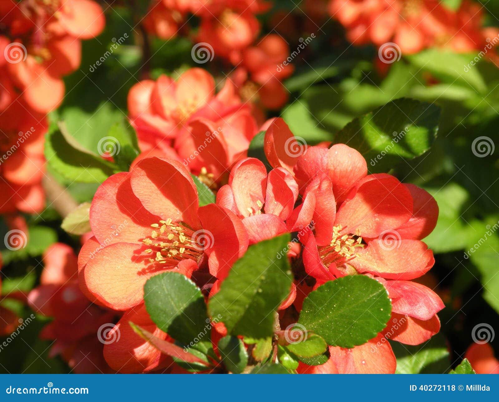 Цветя айва