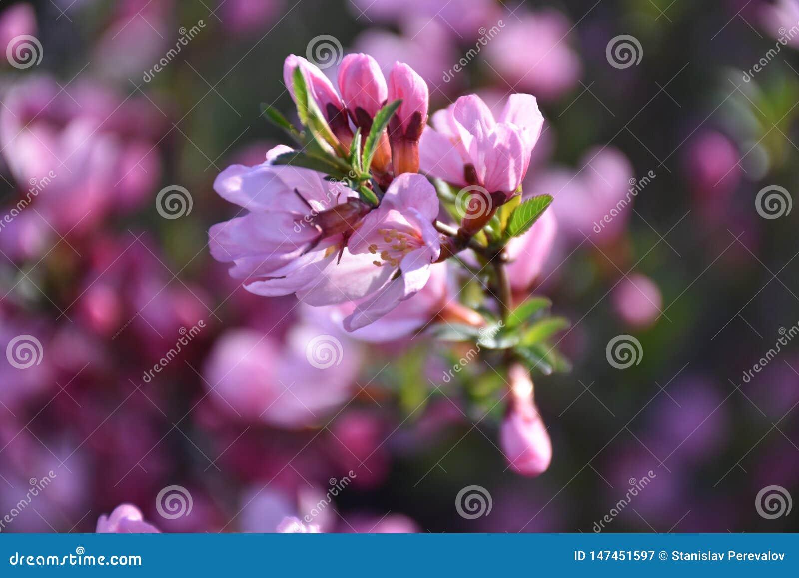 Цветя ветвь миндалины