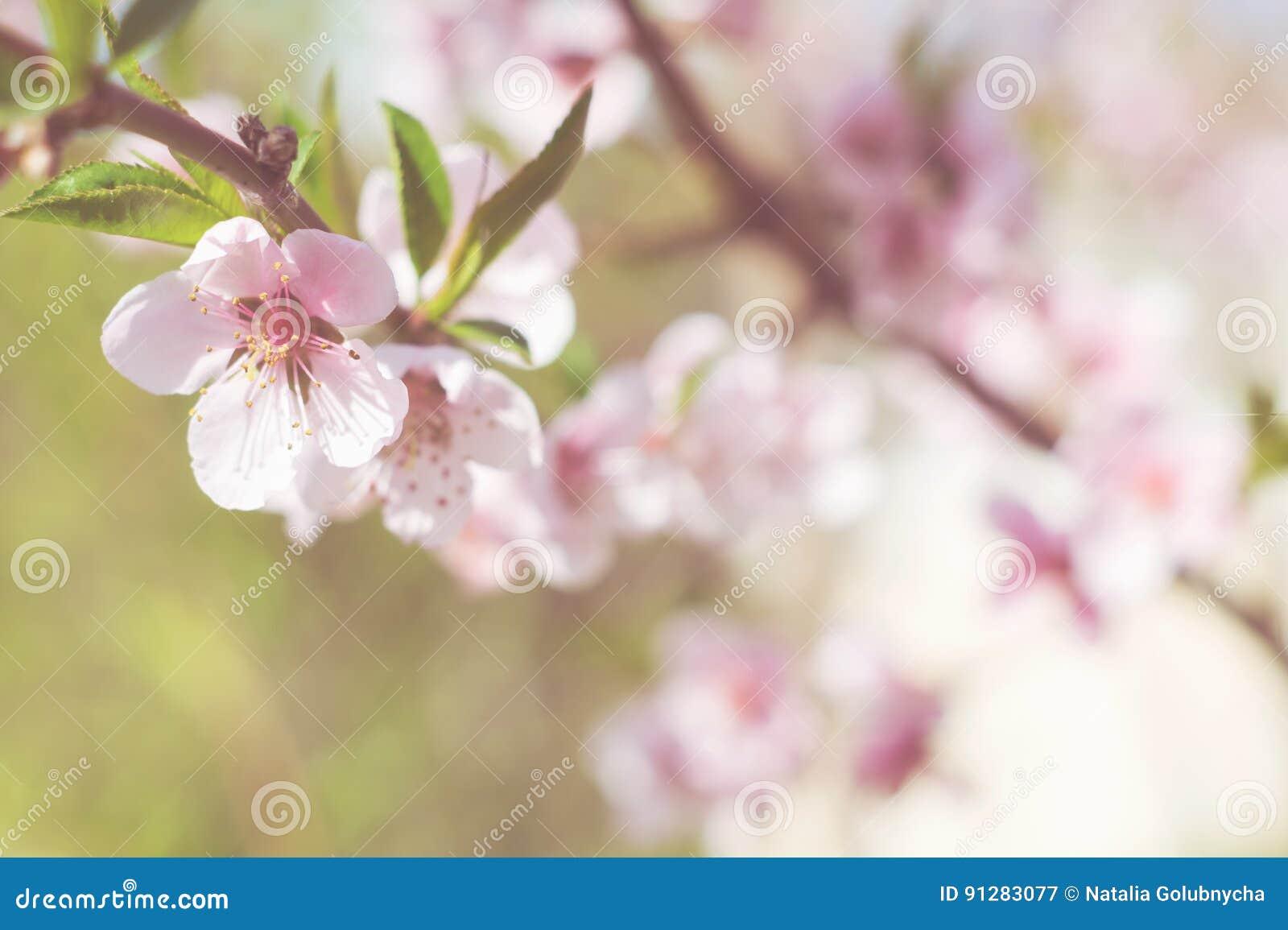 Цветя ветвь персика на предпосылке растительности