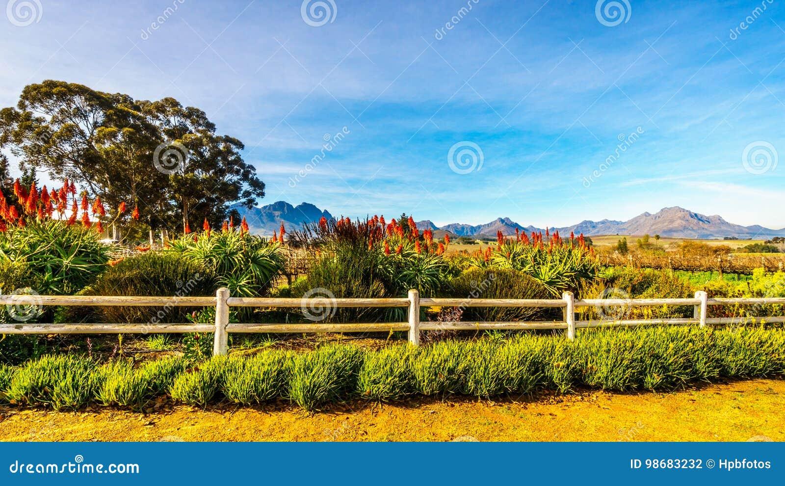 Цветя заводы алоэ Krantz в винограднике в винодельческом регионе Stellenbosch