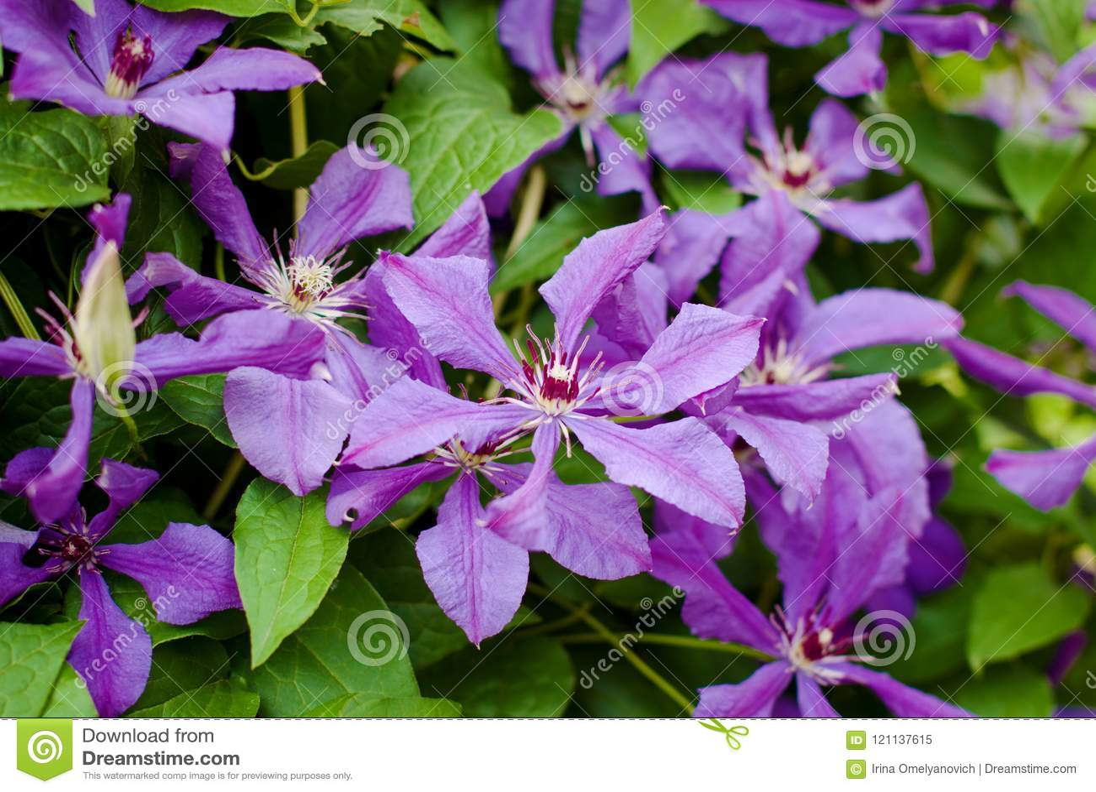Цветя куст фиолетового clematis