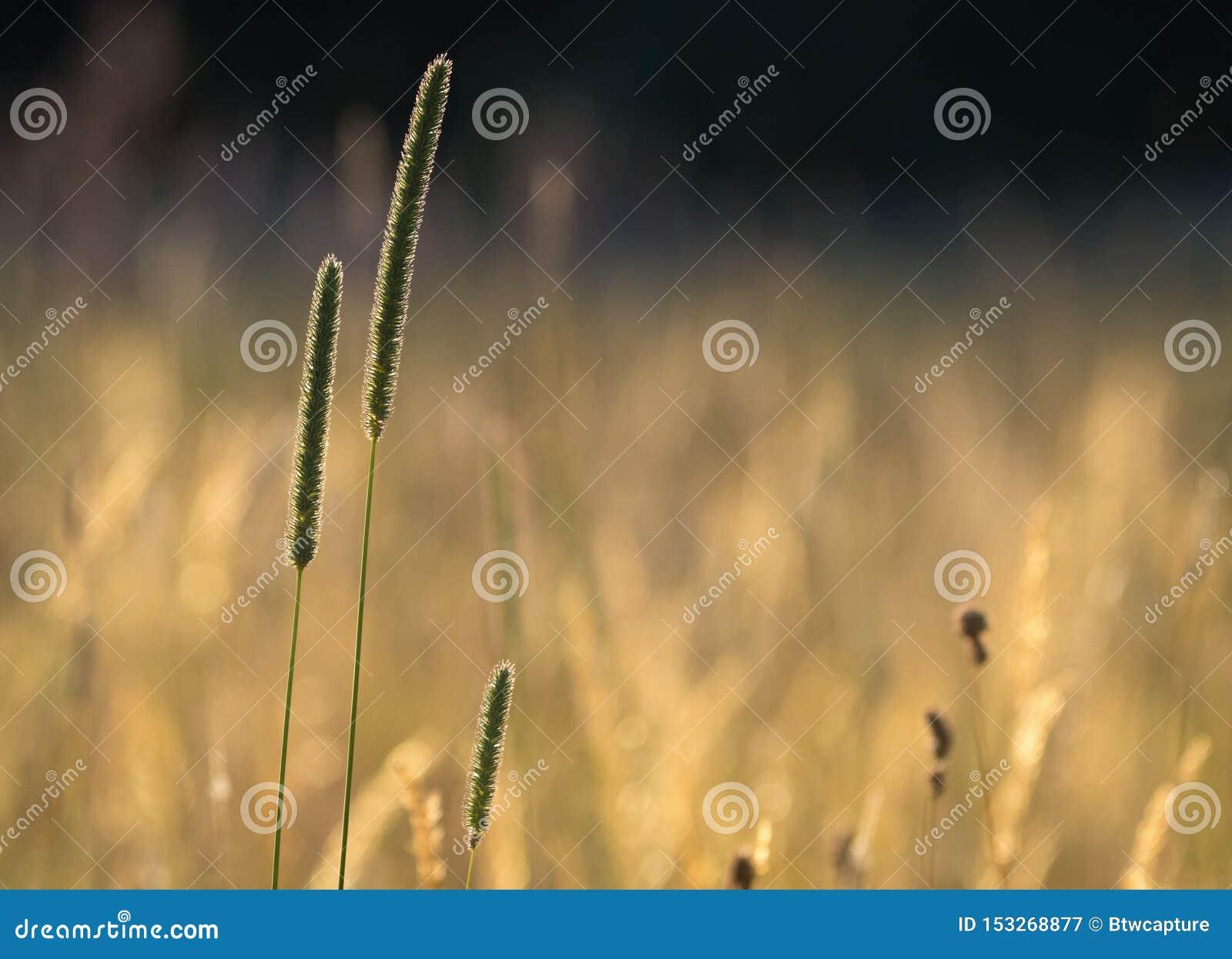 Цветя трава Тимоти
