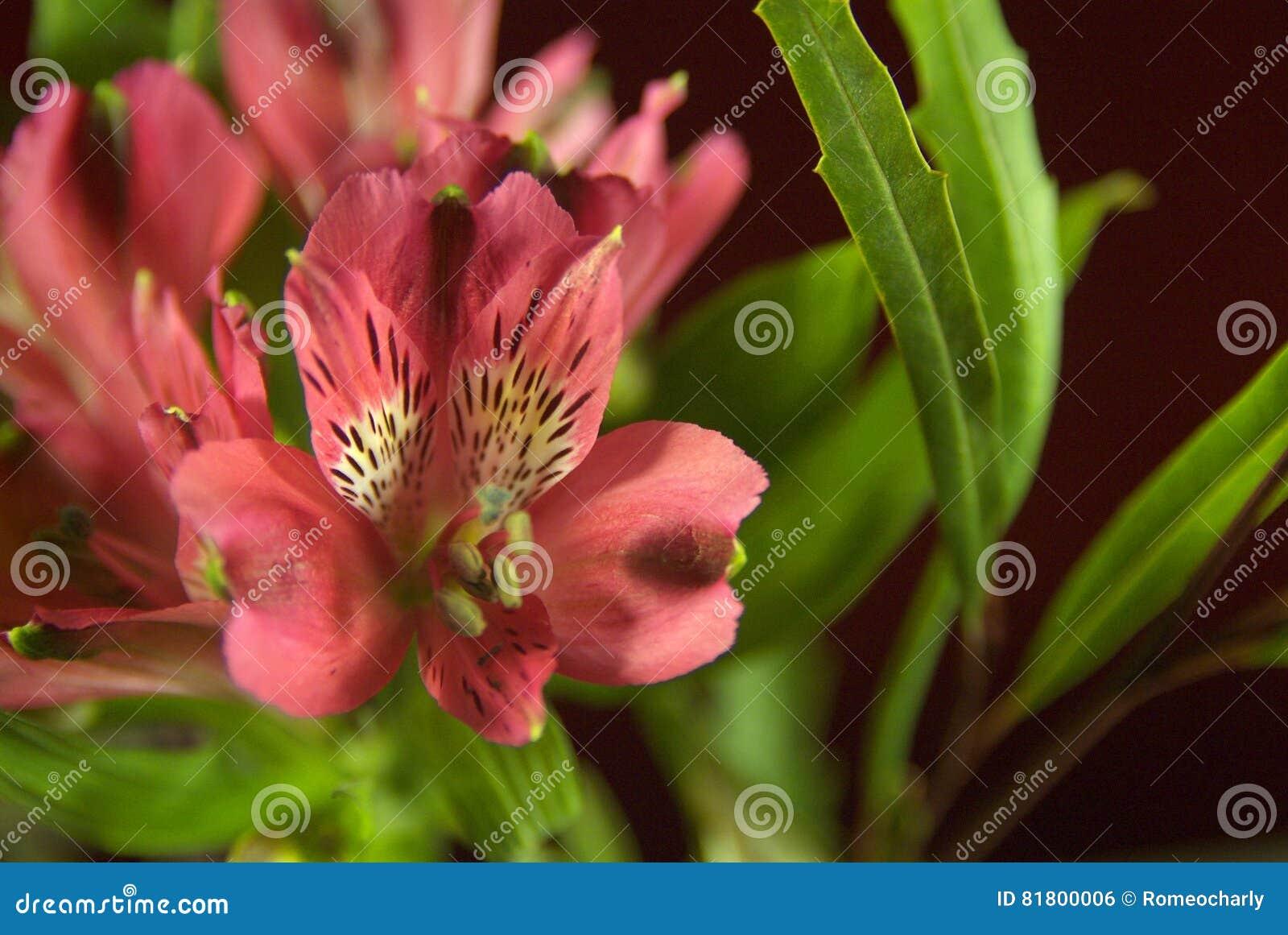 Цветя clivia