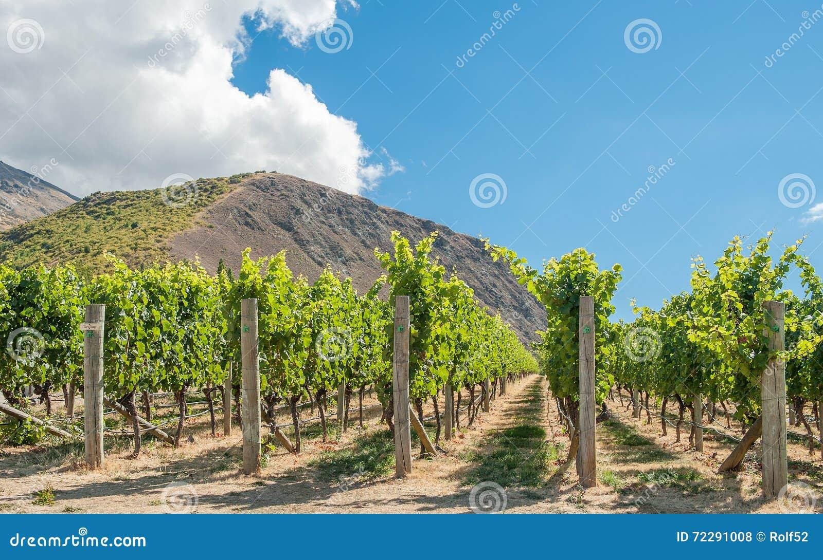 Download Центральный виноградник Otago Стоковое Фото - изображение насчитывающей гора, chardonnay: 72291008