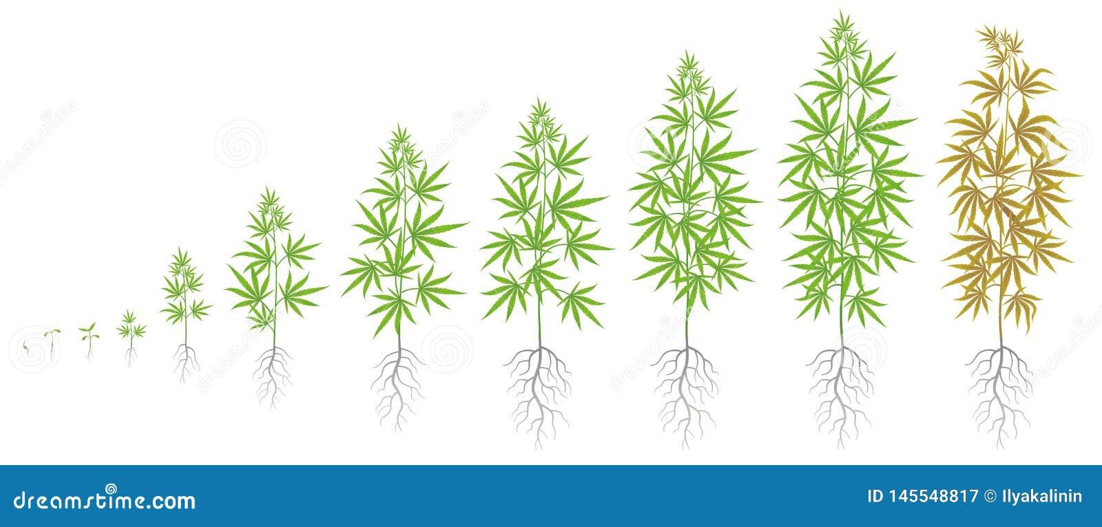 Период выращивания конопли смотреть про коноплю онлайн