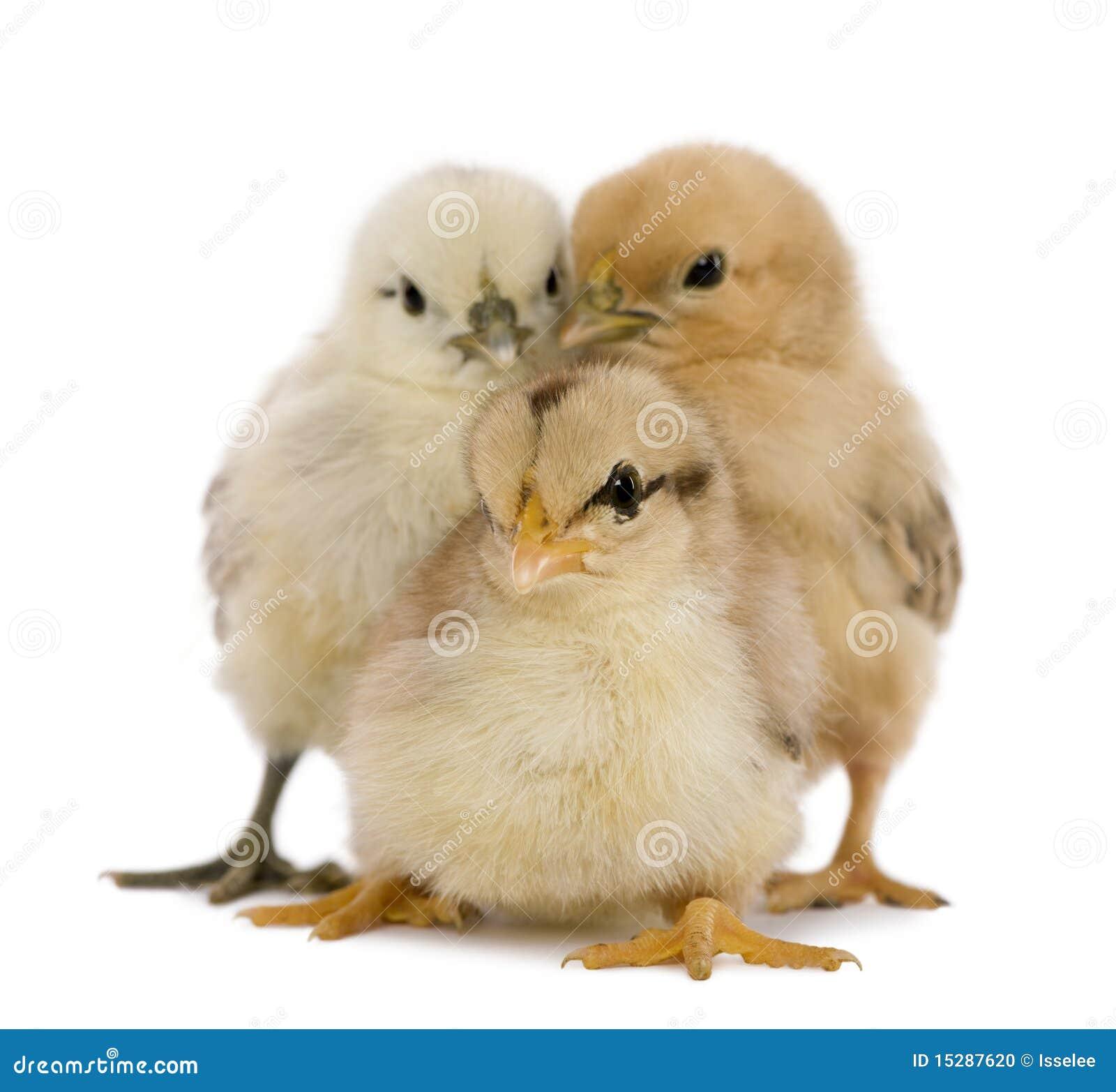 цыпленоки 3