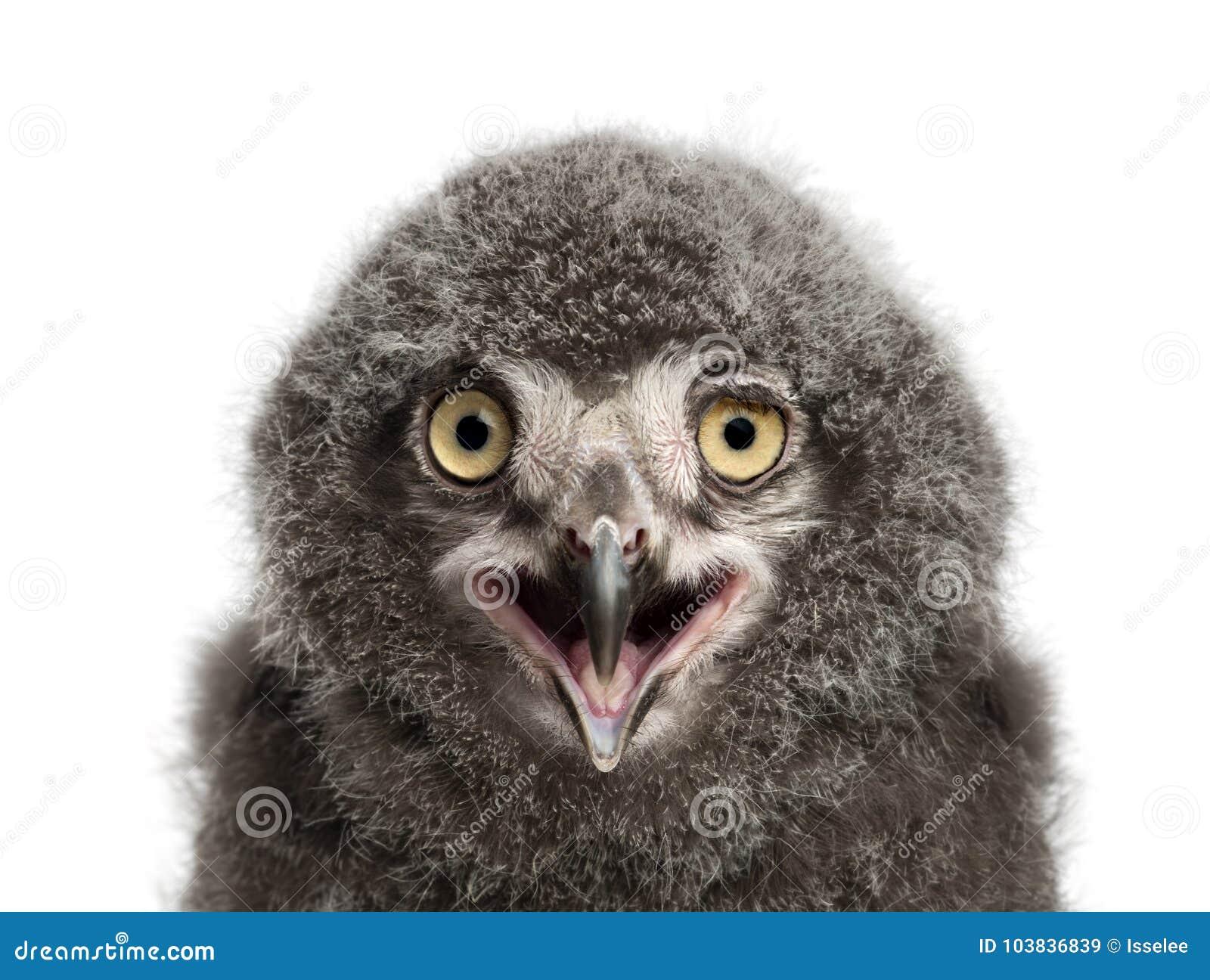 Цыпленок вызывая, scandiacus сыча Snowy Bubo, 31 день старый против wh