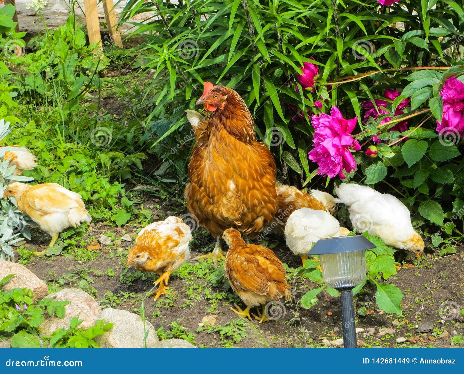 Цыпленок с цыплятами ища еда среди травы во дворе