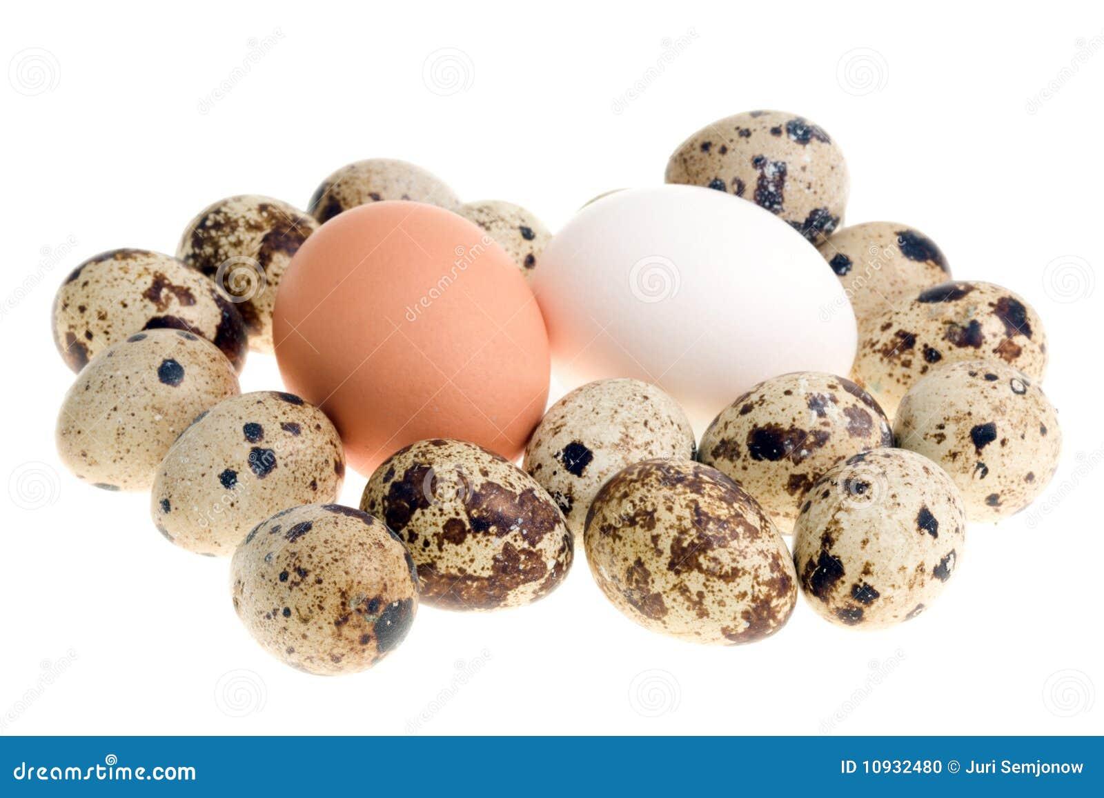цыпленок eggs триперстки