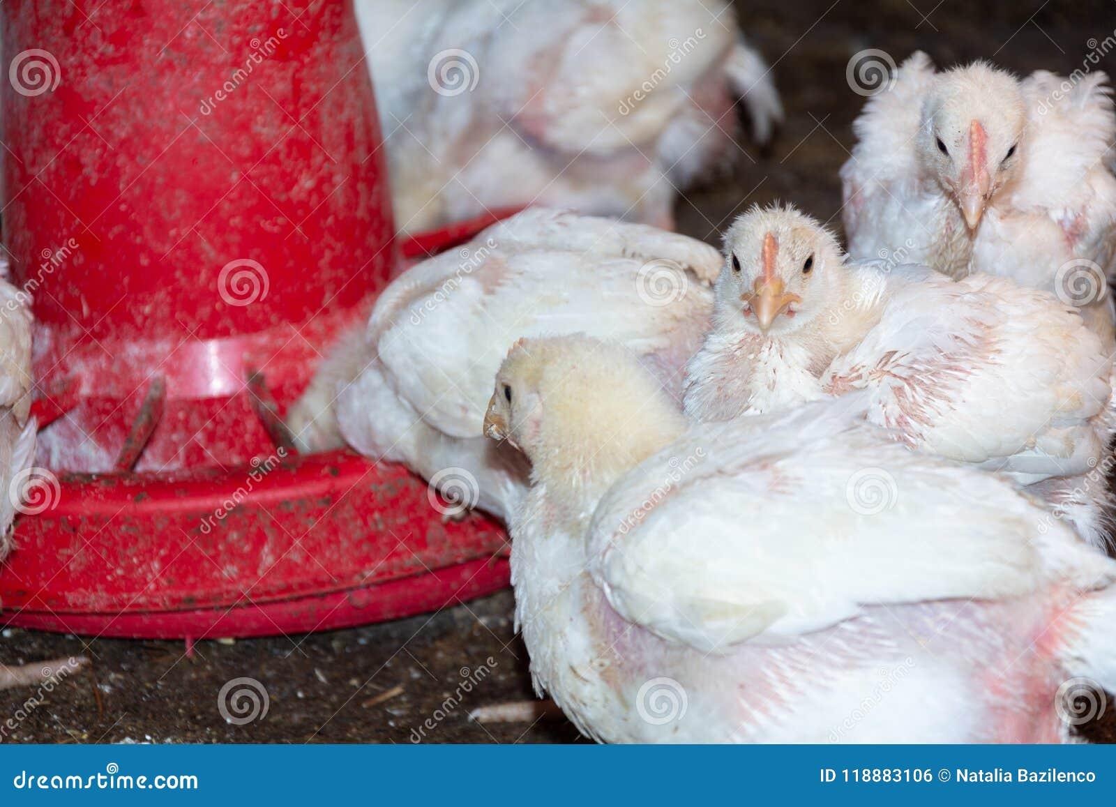 Цыплята бройлера
