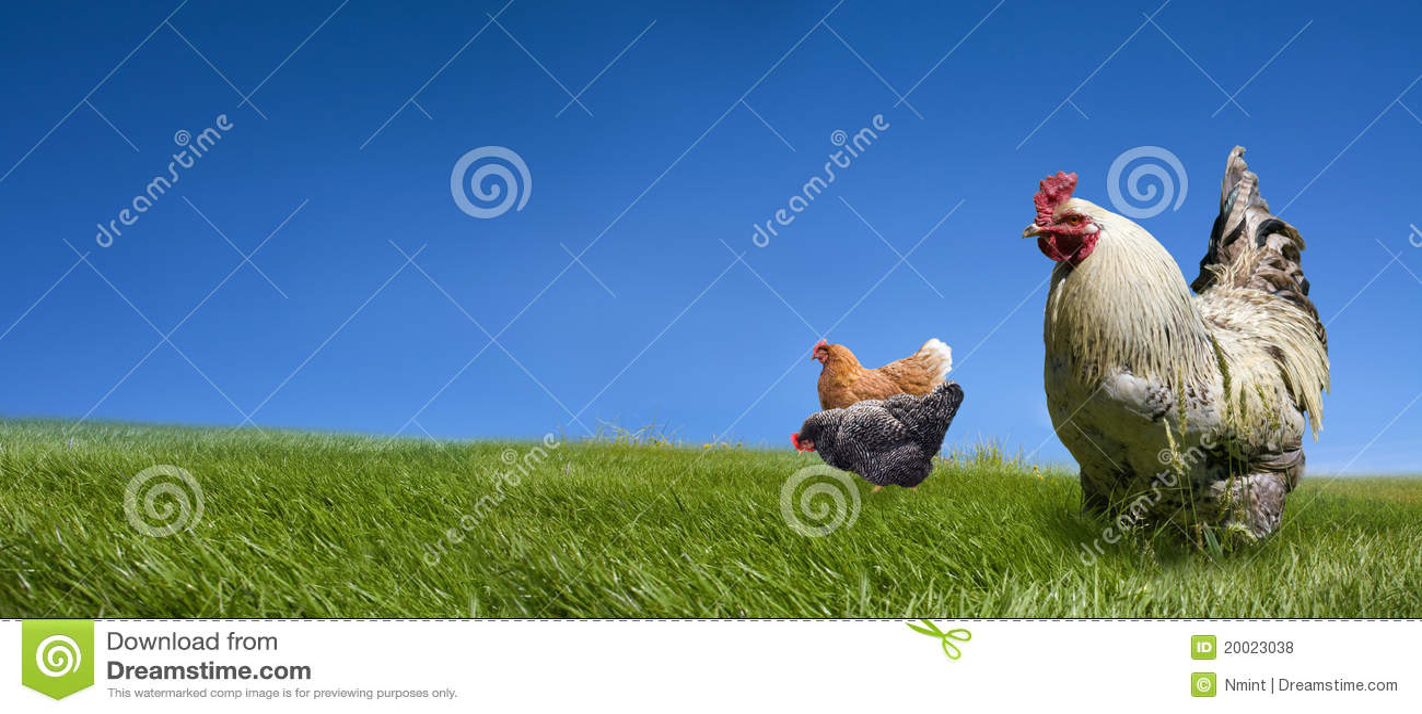 цыплята взводят курок зеленому лужку