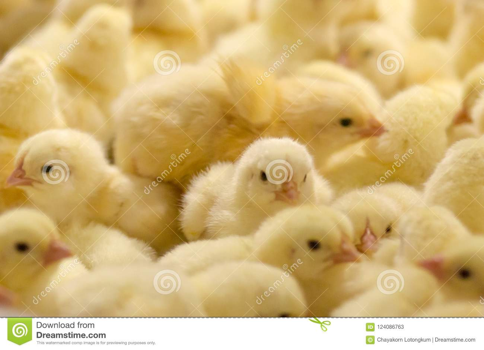 Цыплята младенца как раз принесенные на подносе