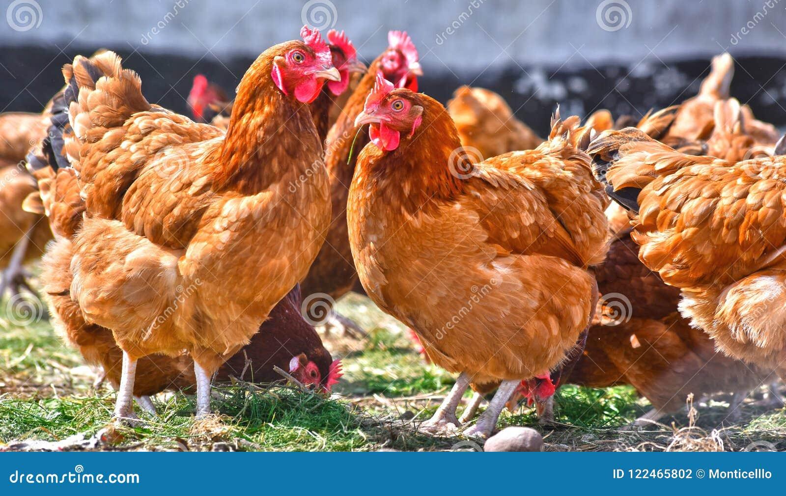 Цыплята на традиционной свободной птицеферме ряда