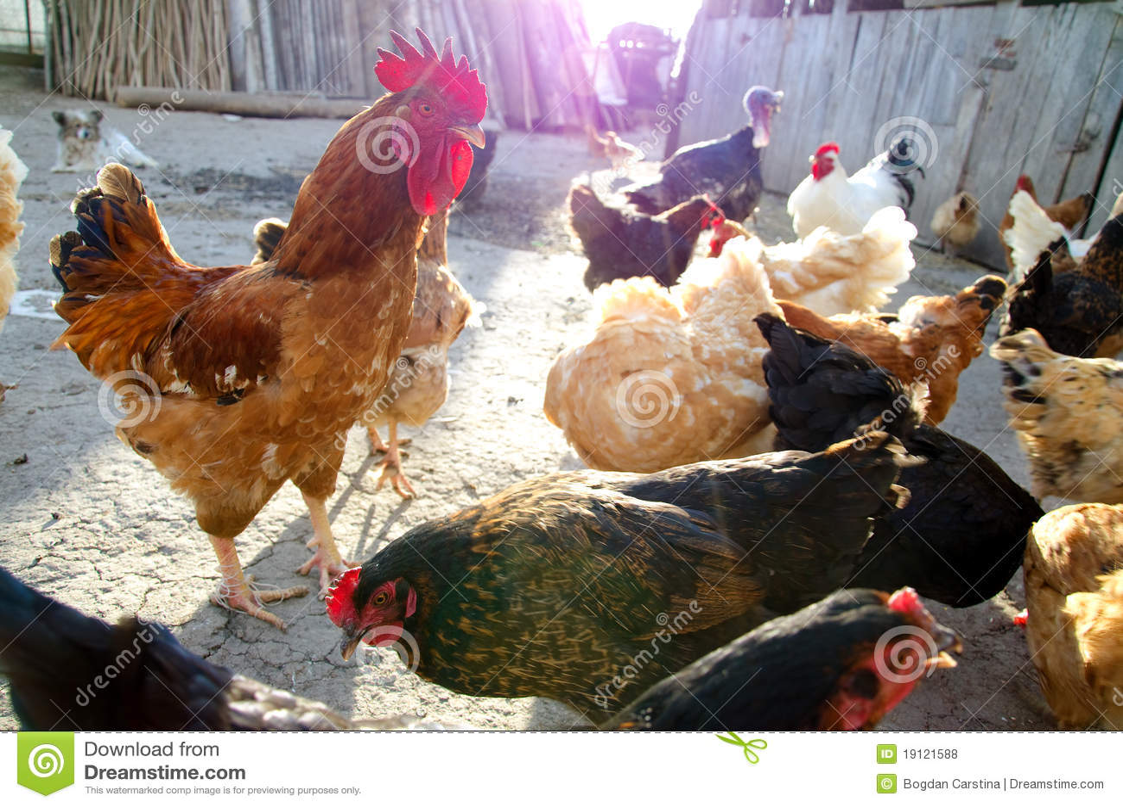 цыплята освобождают ряд