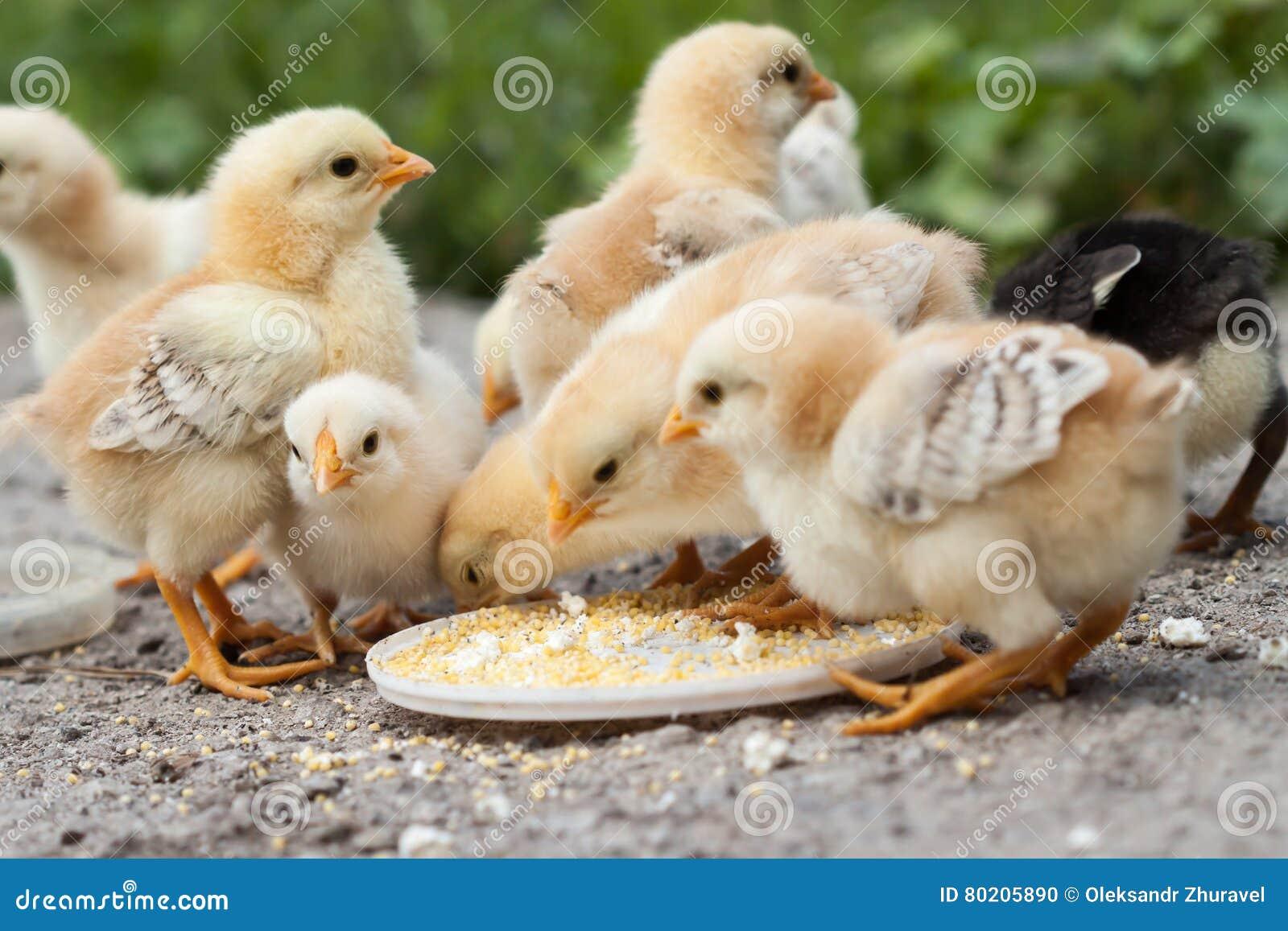 цыпленоки