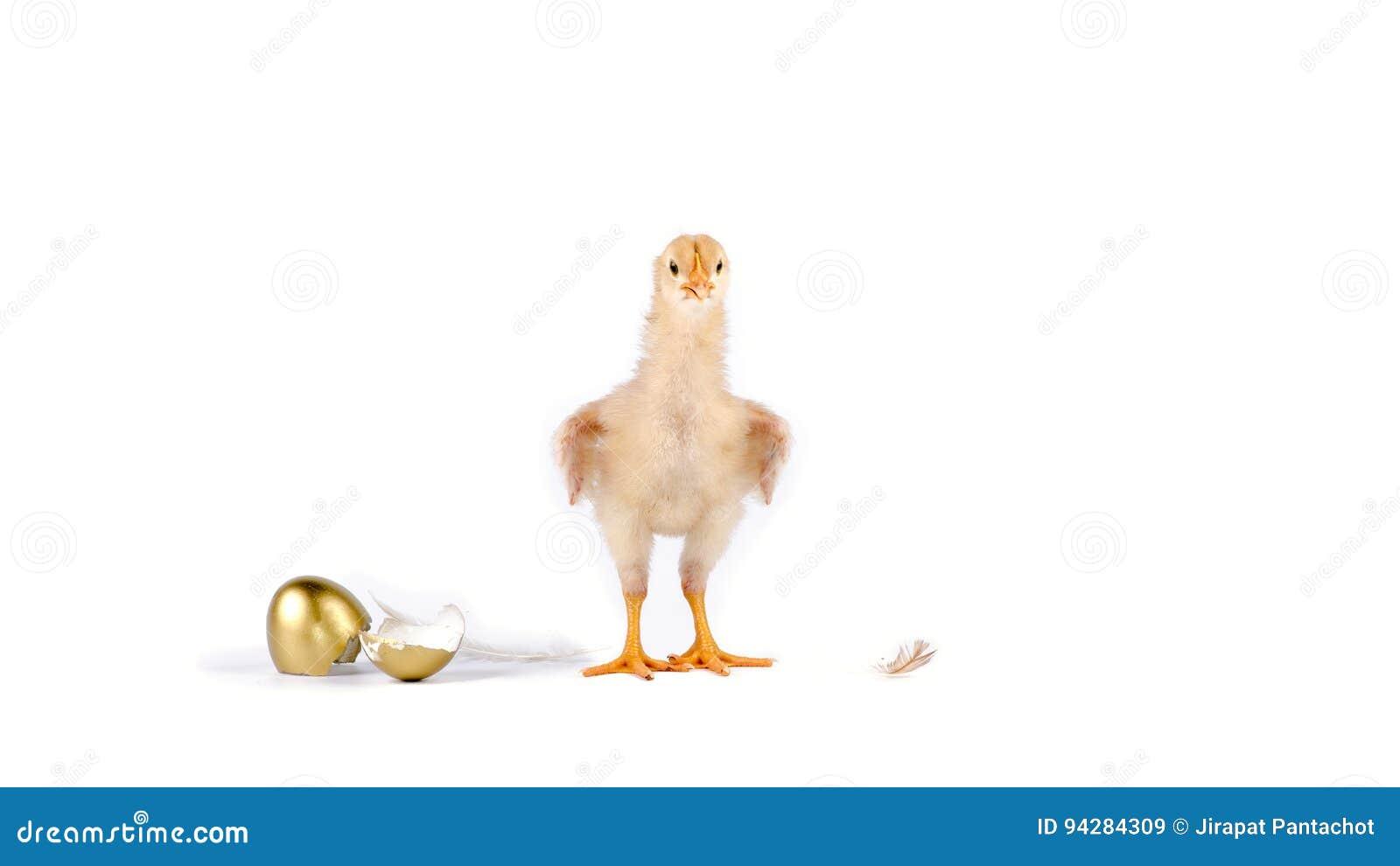 цыпленок и золотое яичко в студии против белой предпосылки