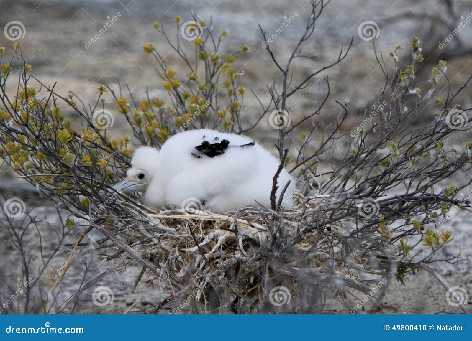 Цыпленок птицы фрегата