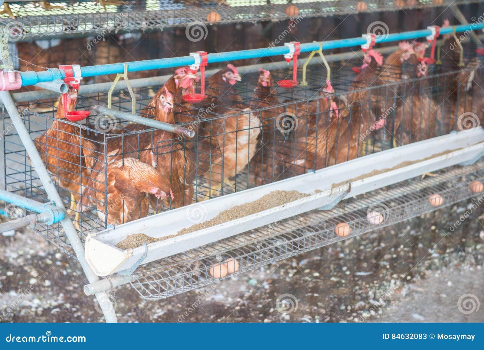 Цыпленок яичка в курятнике