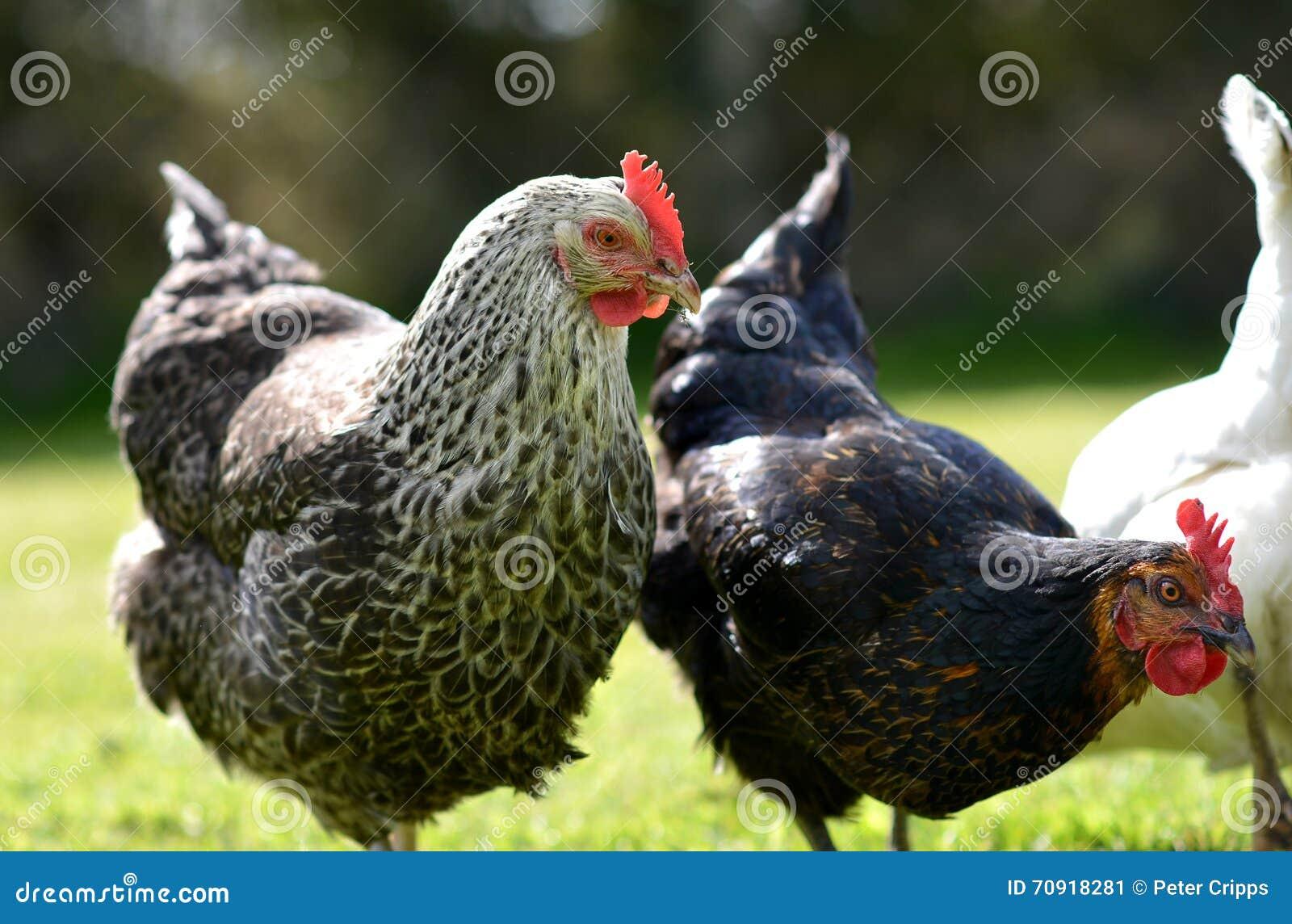 Цыплята любимчика