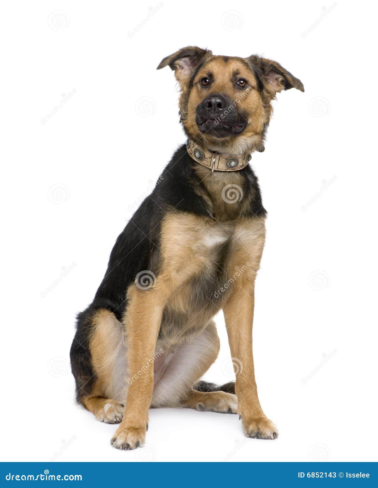 чабан собаки breed beauceron немецкий смешанный