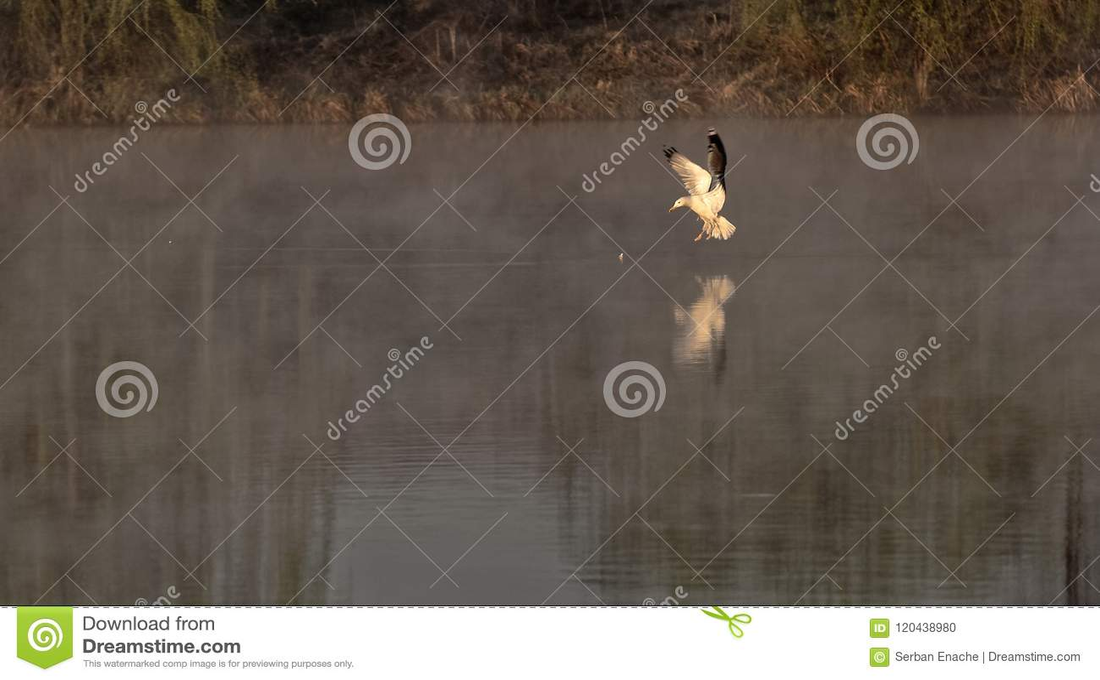 Чайка на озере, Corbeanca, Ilfov County, Румынии