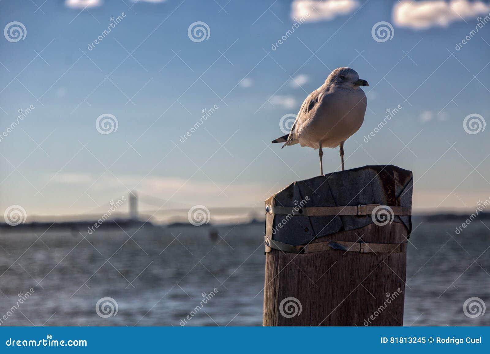 Чайка на пне