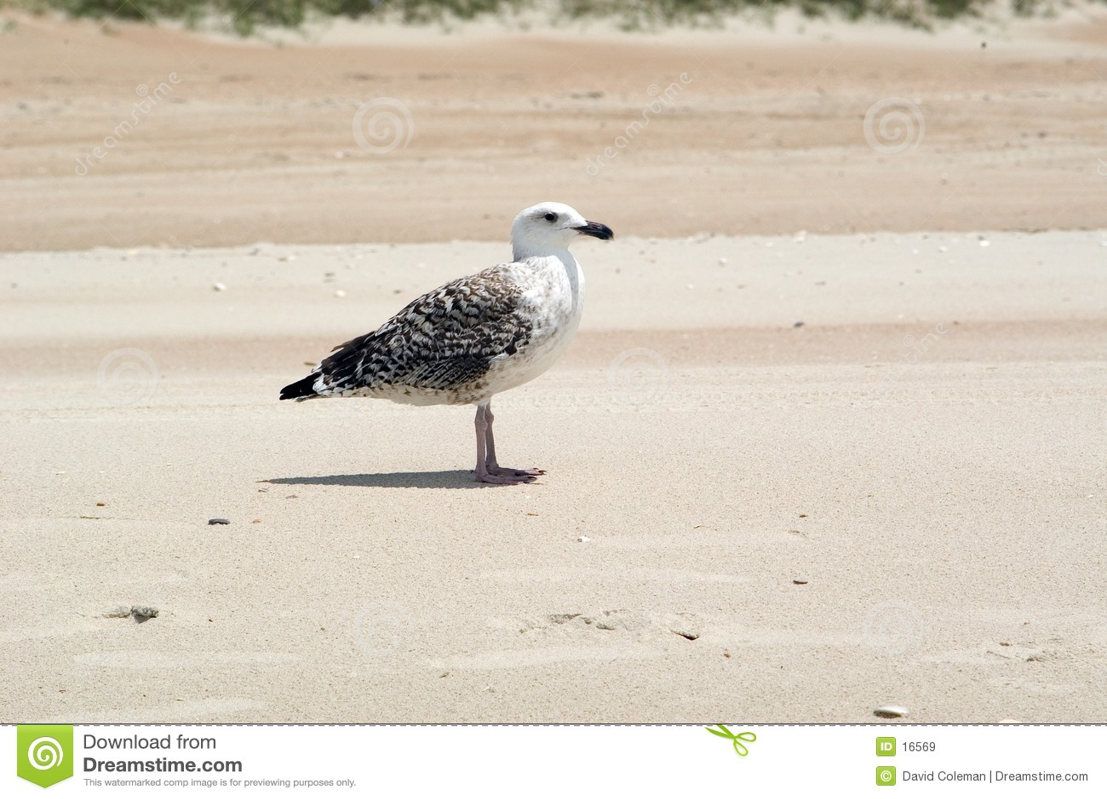чайка пляжа