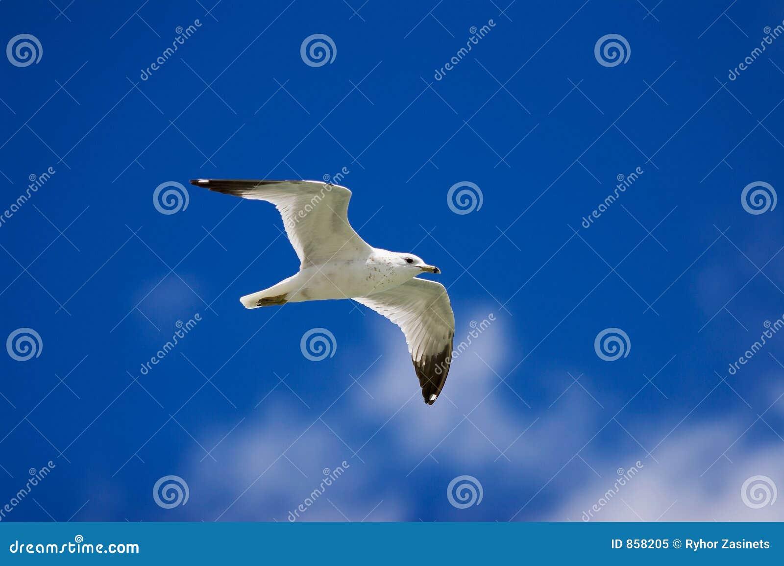 чайка полета