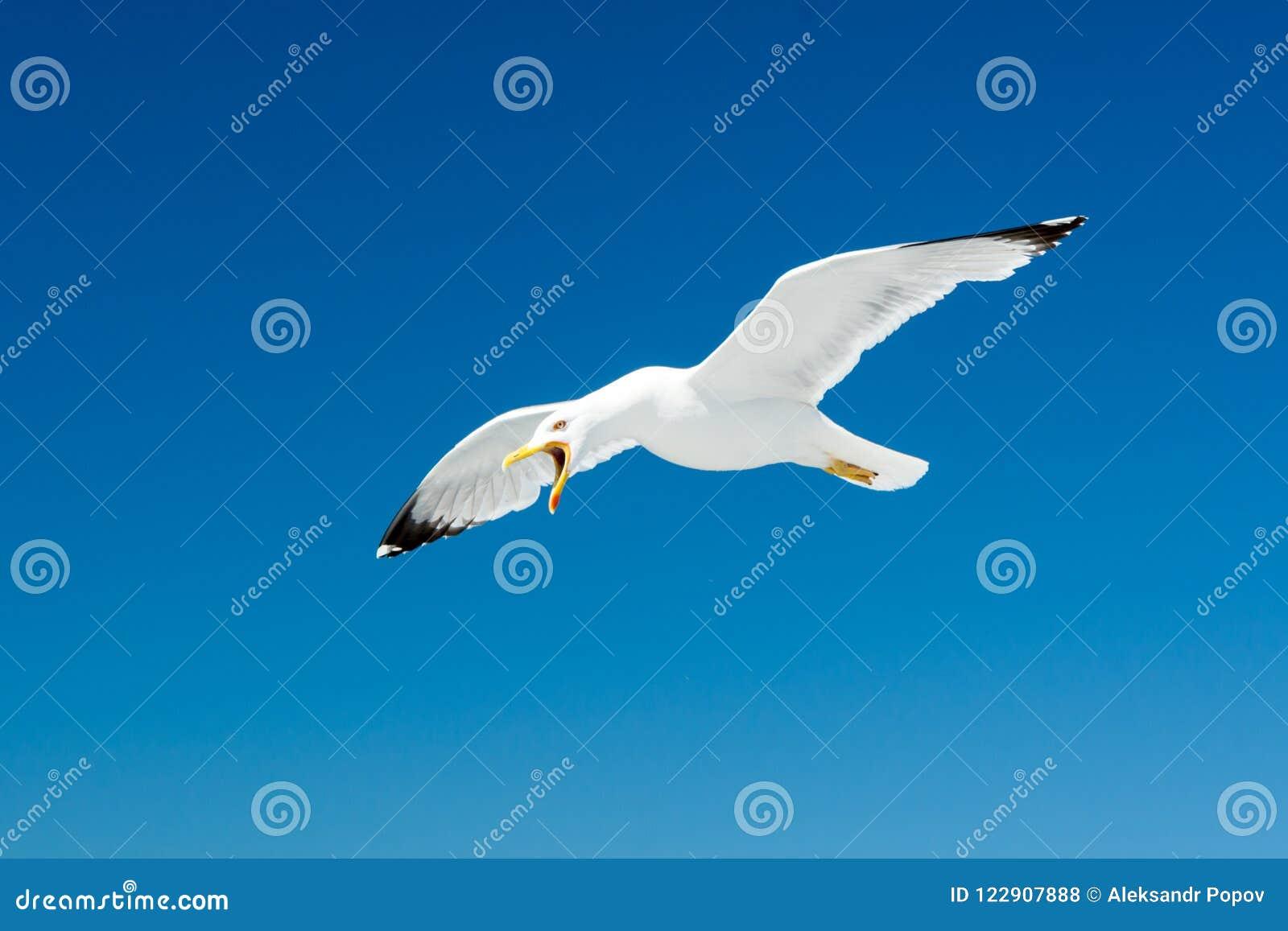 Чайка с открытым клювом