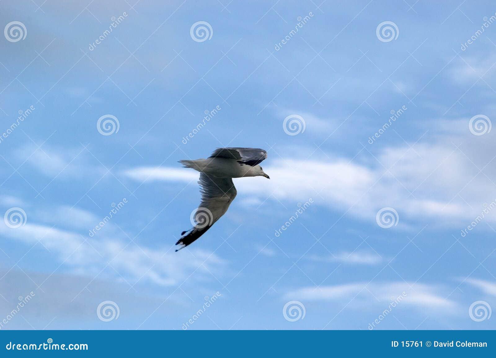 чайка s полета