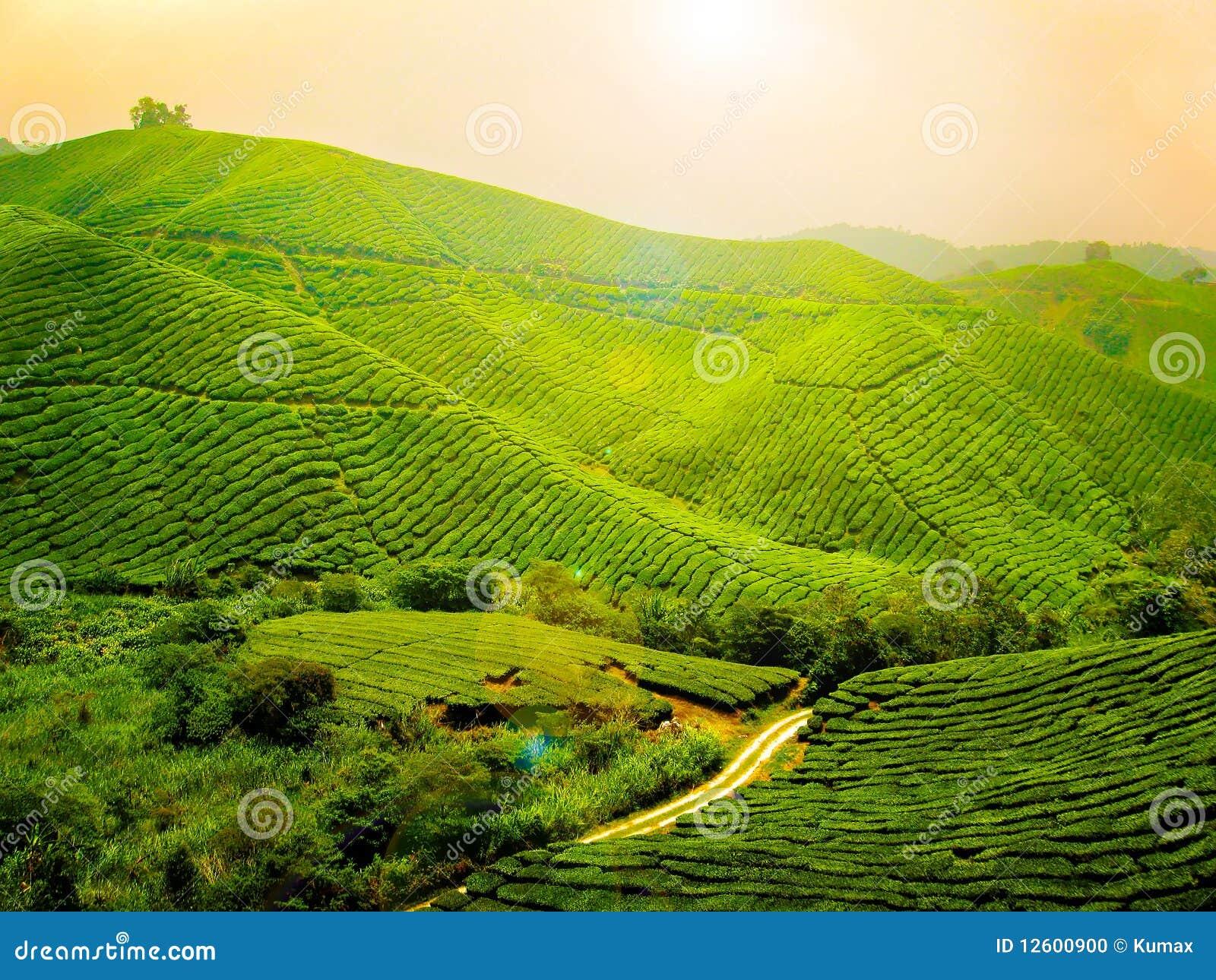 чай плантации Малайзии