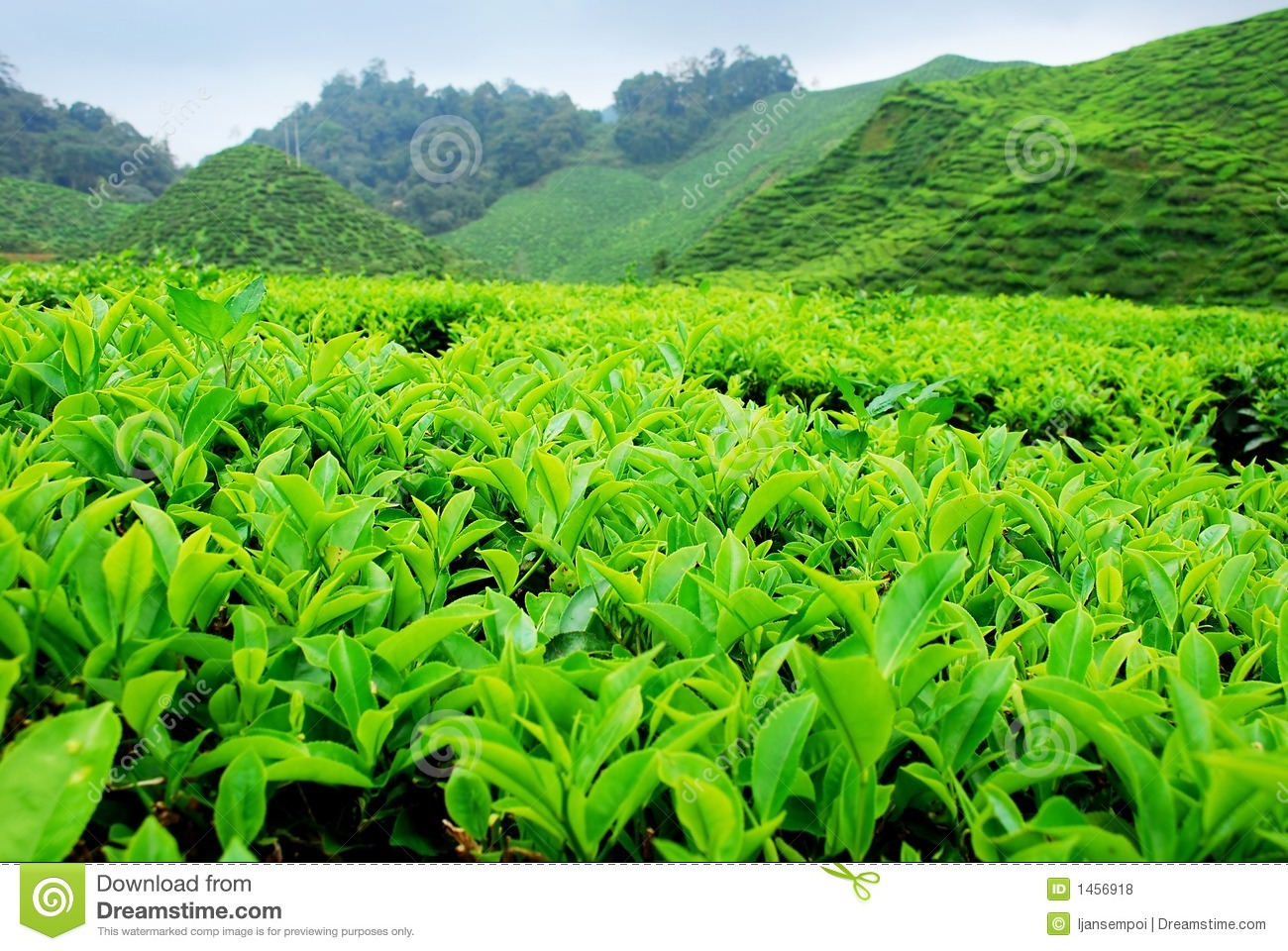 worlds primary tea producer - 1000×669