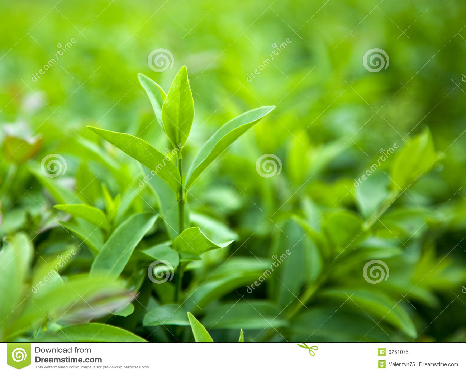 чай bush зеленый