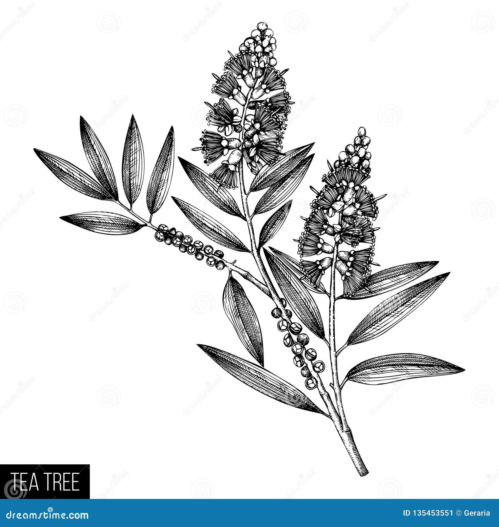 Чая дерева чая руки эскизы вычерченного прованские на белой предпосылке Косметики и медицинский завод мирта Д-р дерева cajeput ве