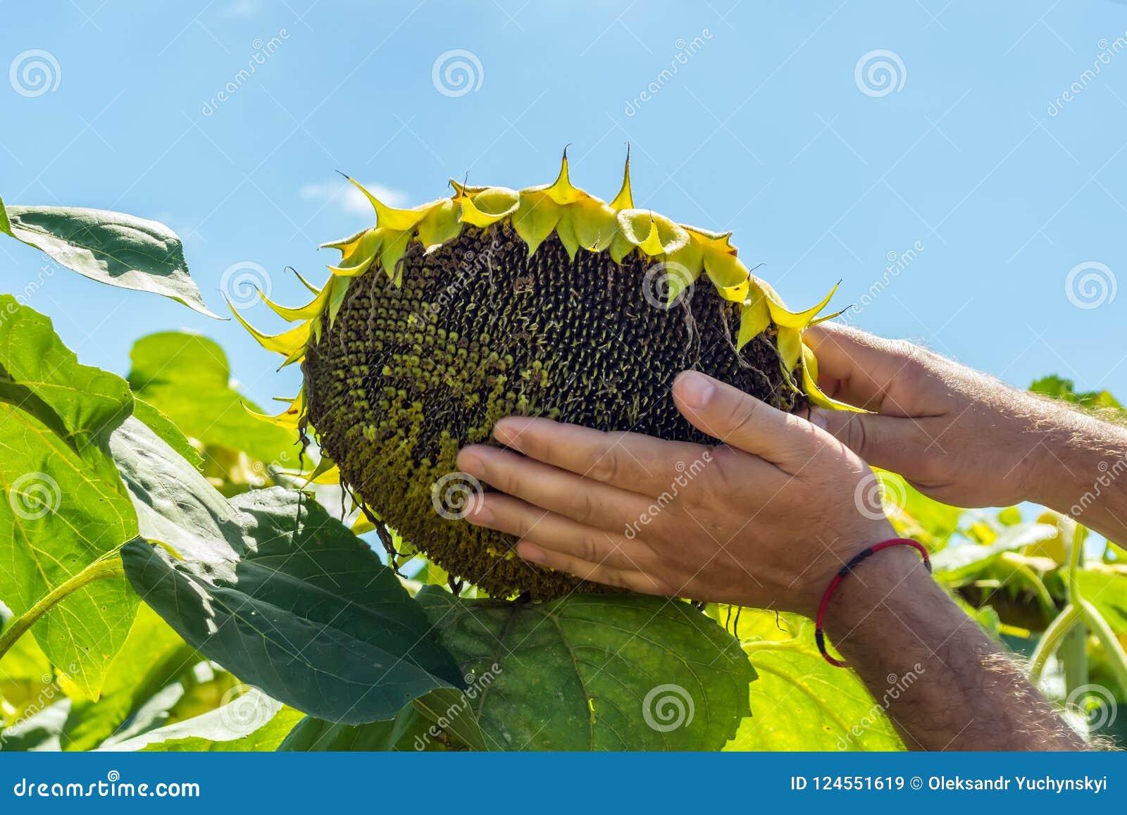 Человек пробует семена подсолнуха в его руке, анализирующ наполненность и качество Концепция удобрения, предохранение от завода