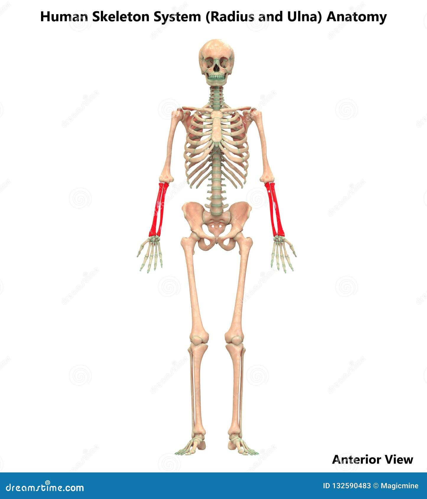 Человеческие радиус каркасной системы и анатомия Ulna