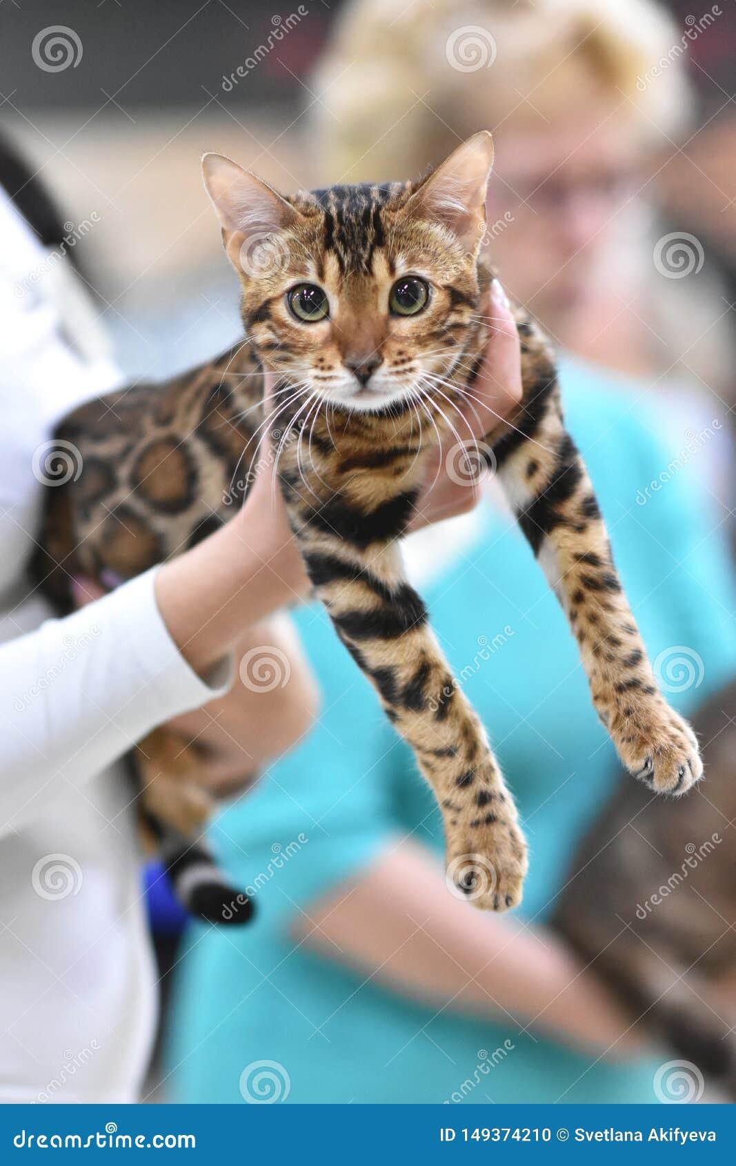 Челябинск, Российская Федерация - 8-ое сентября 2018 Цвет tabby кота Бенгалии коричневый запятнанный в выставке котов