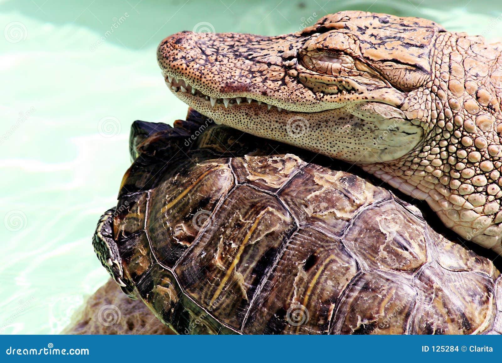 черепаха аллигатора