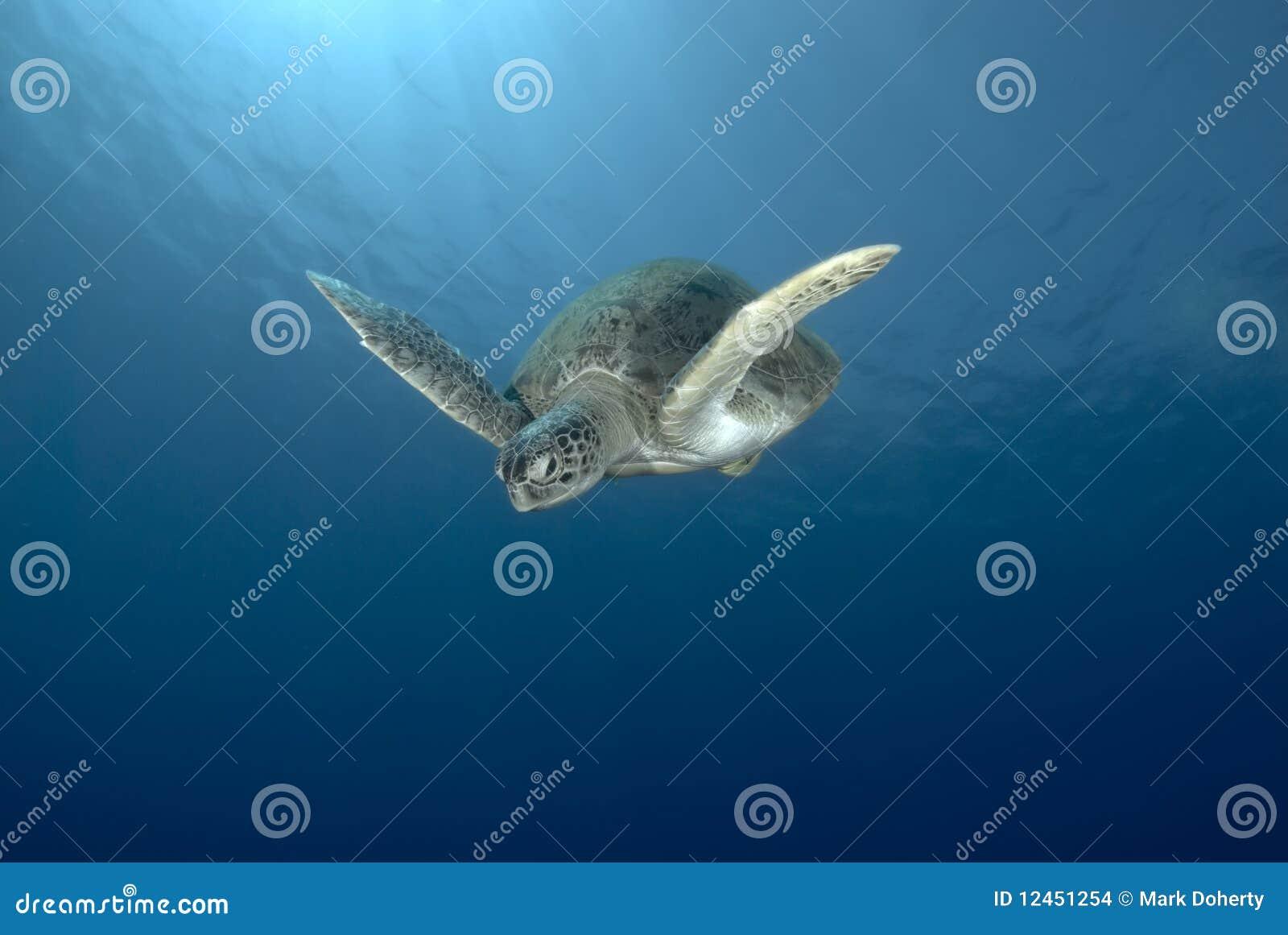 черепаха заплывания зеленого моря
