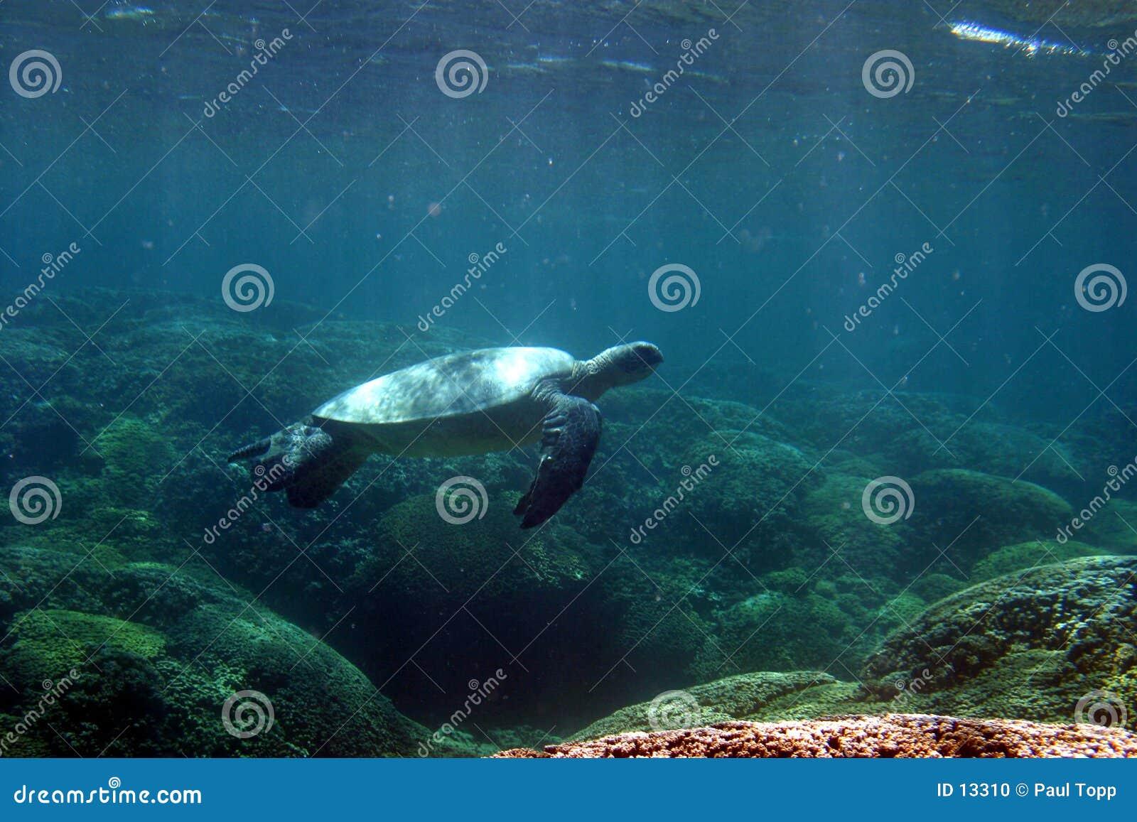 черепаха заплывания