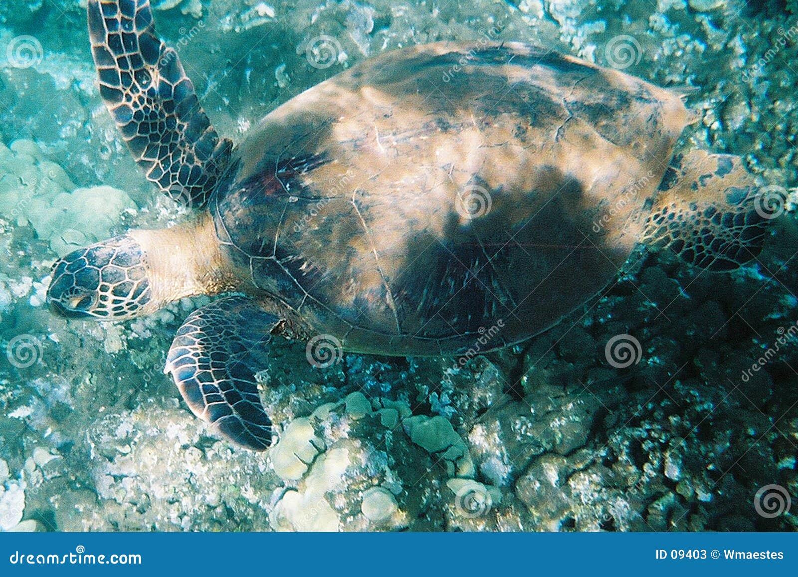черепаха зеленого моря