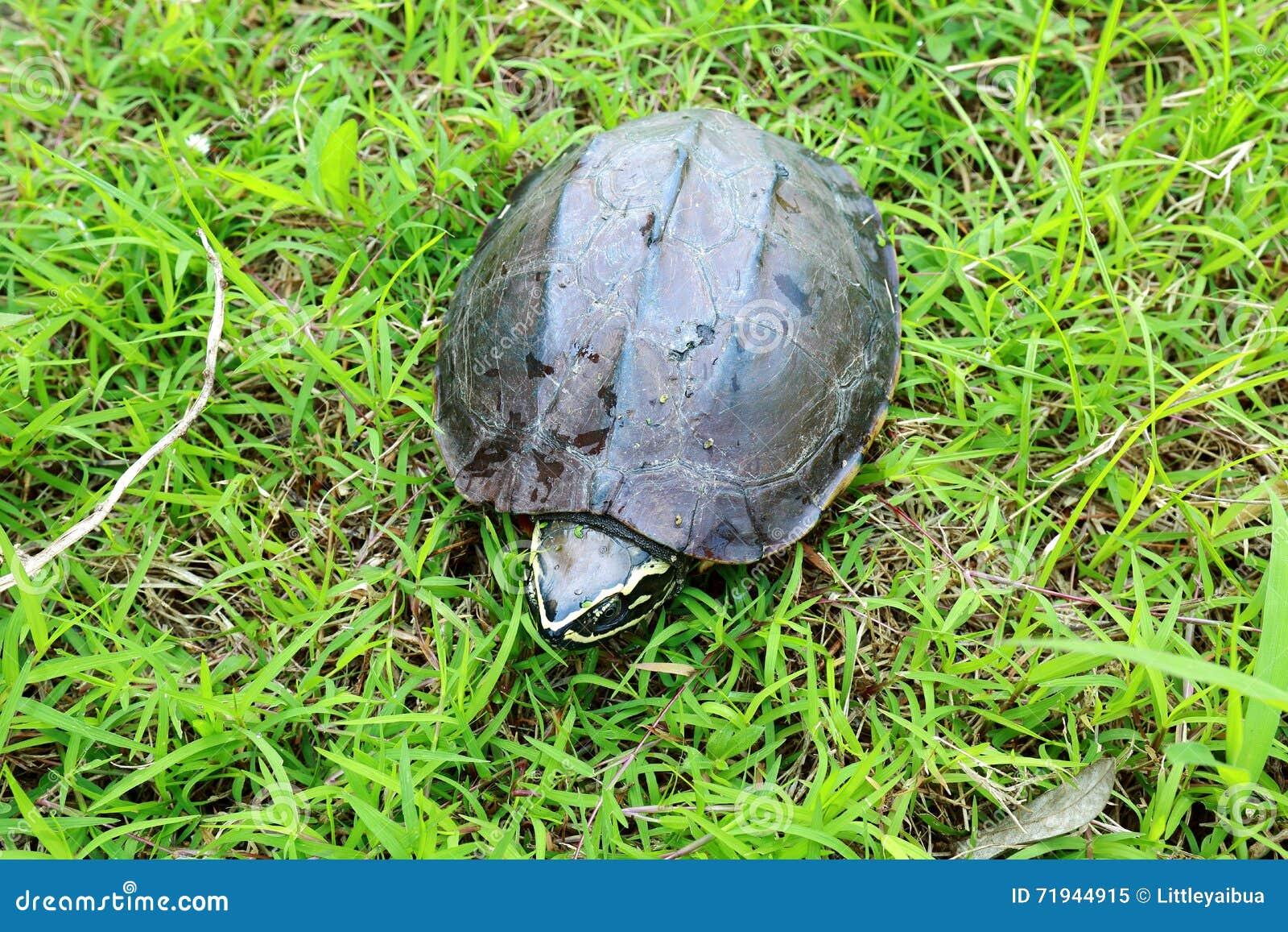 Черепаха идя на траву