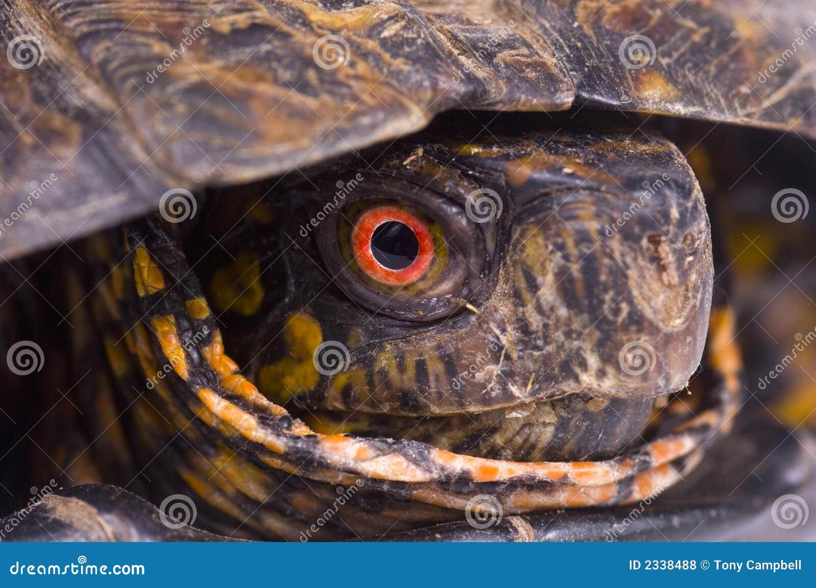 черепаха коробки покрашенная глазом красная