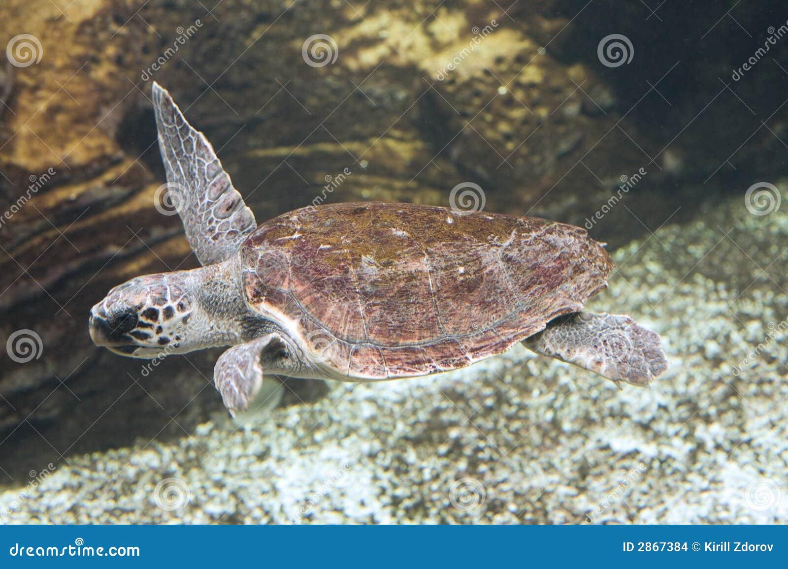 черепаха морской черепахи